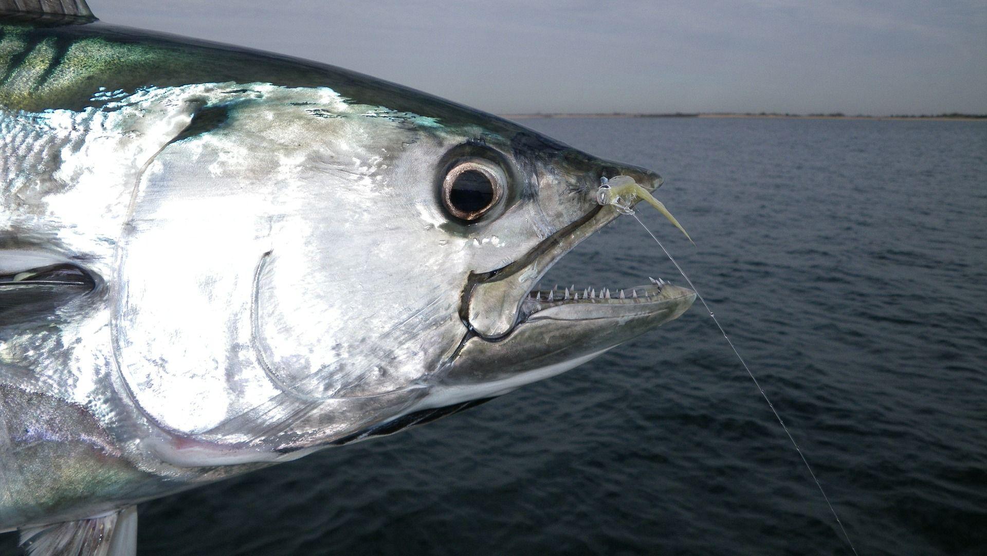 Фото рыбы тунца, к которой есть вкусные рецепты