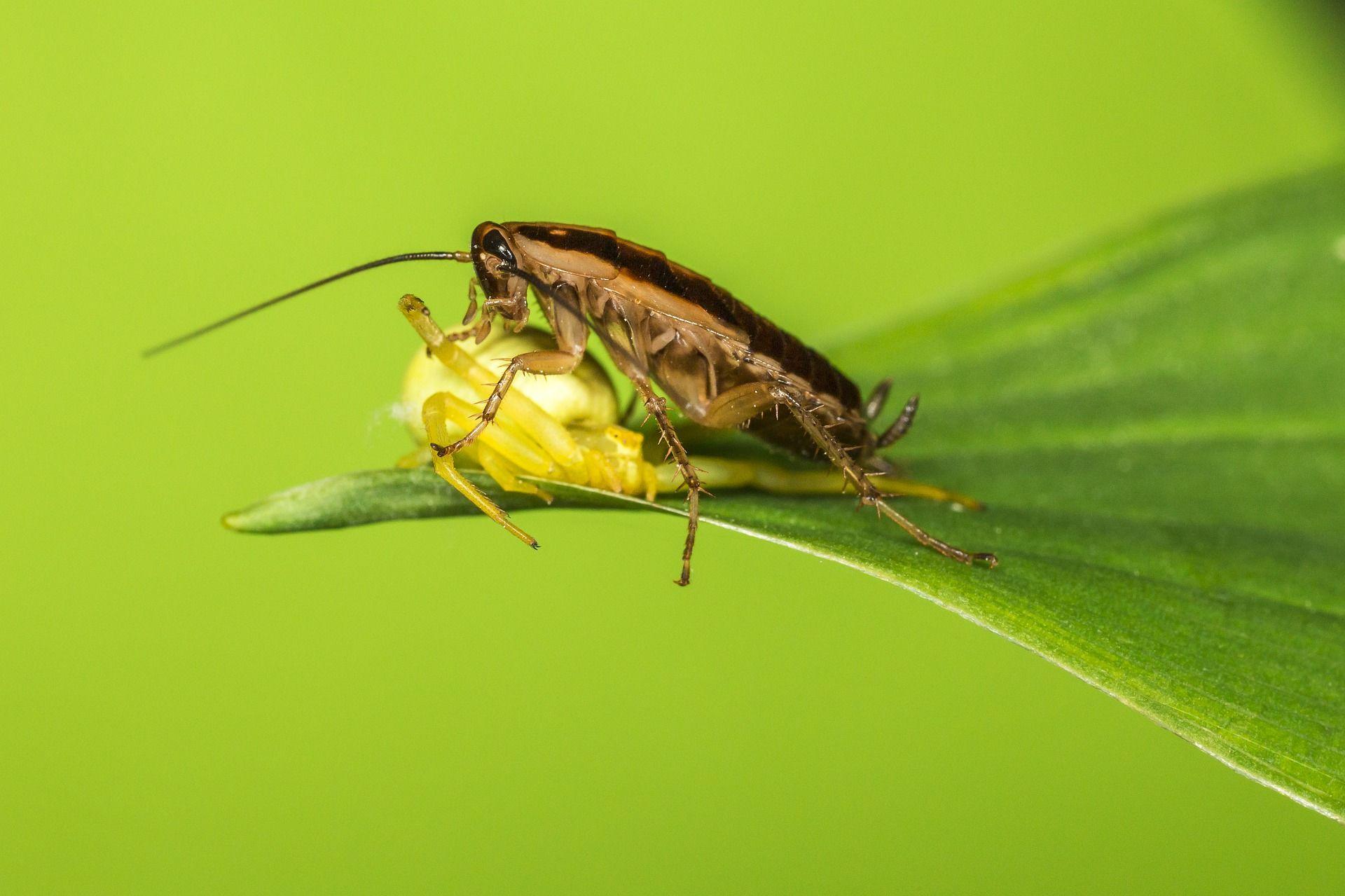 Картинки маленького домашнего таракана