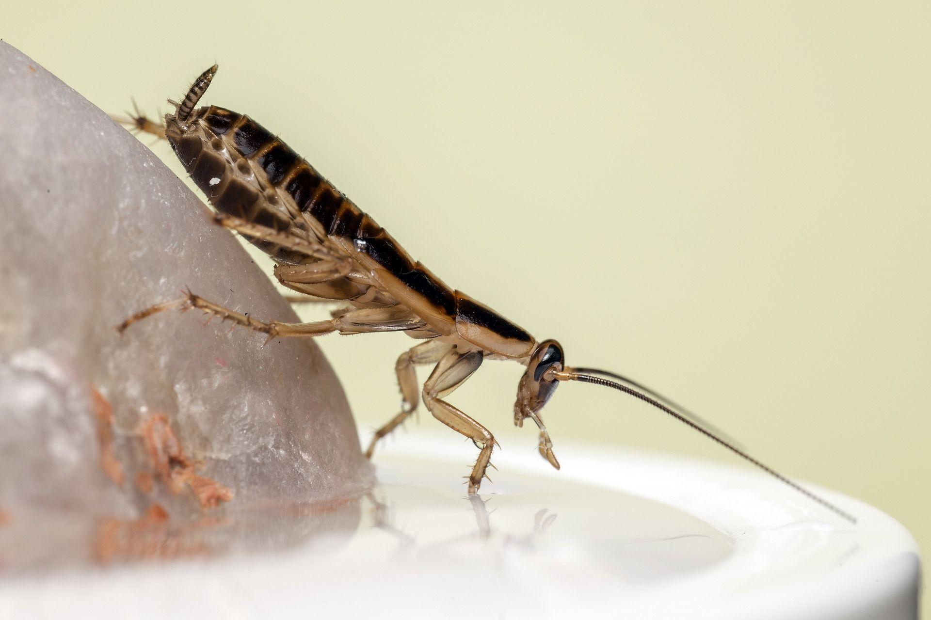 Фото таракана в домашних условиях