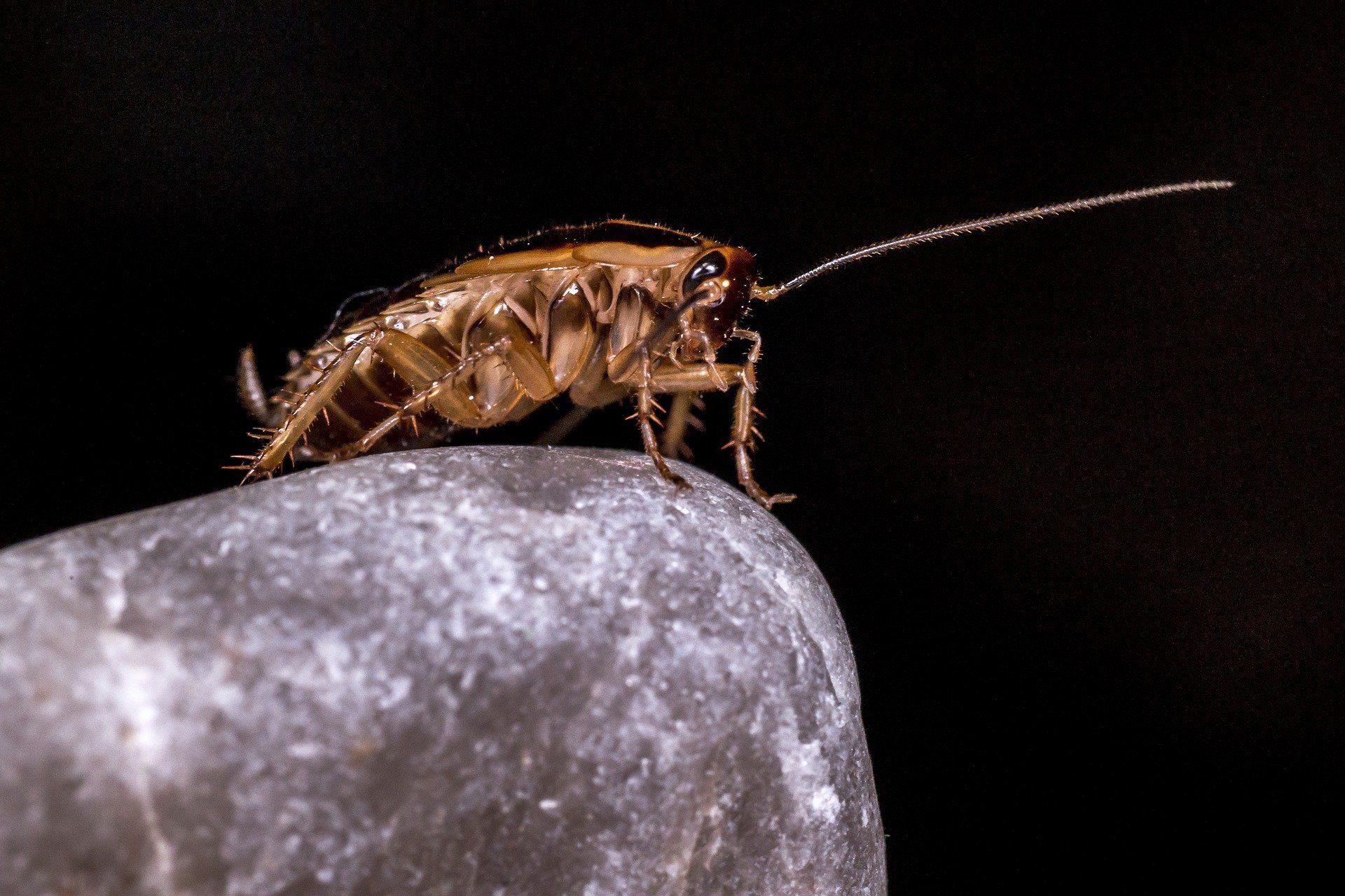 Смотреть картинки домашних тараканов в квартире