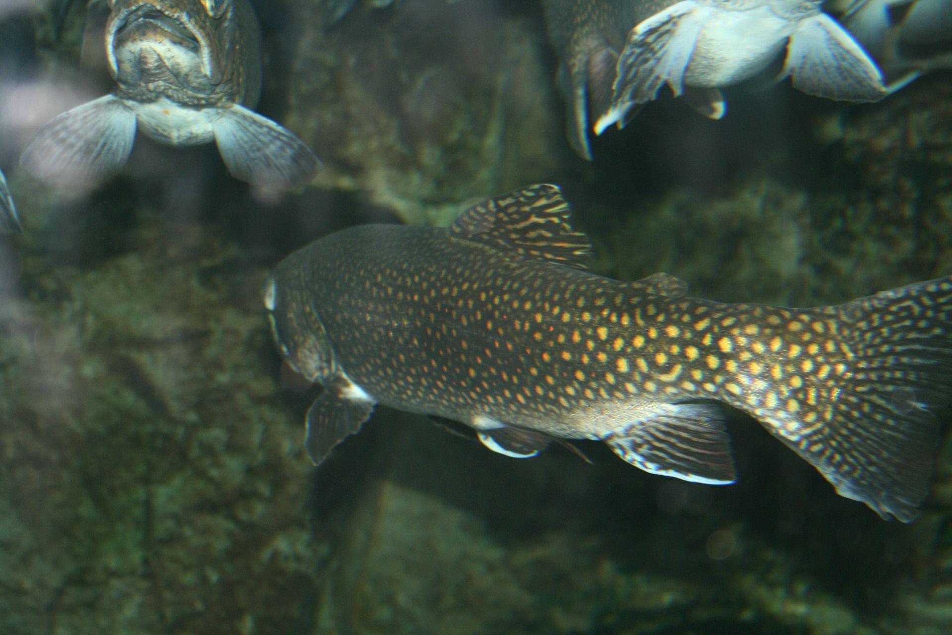 Фотографии вкусной рыбы – форели
