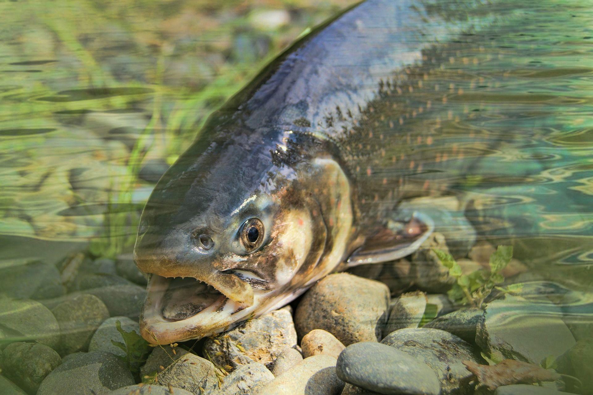 Картинки рыбы форели бесплатно