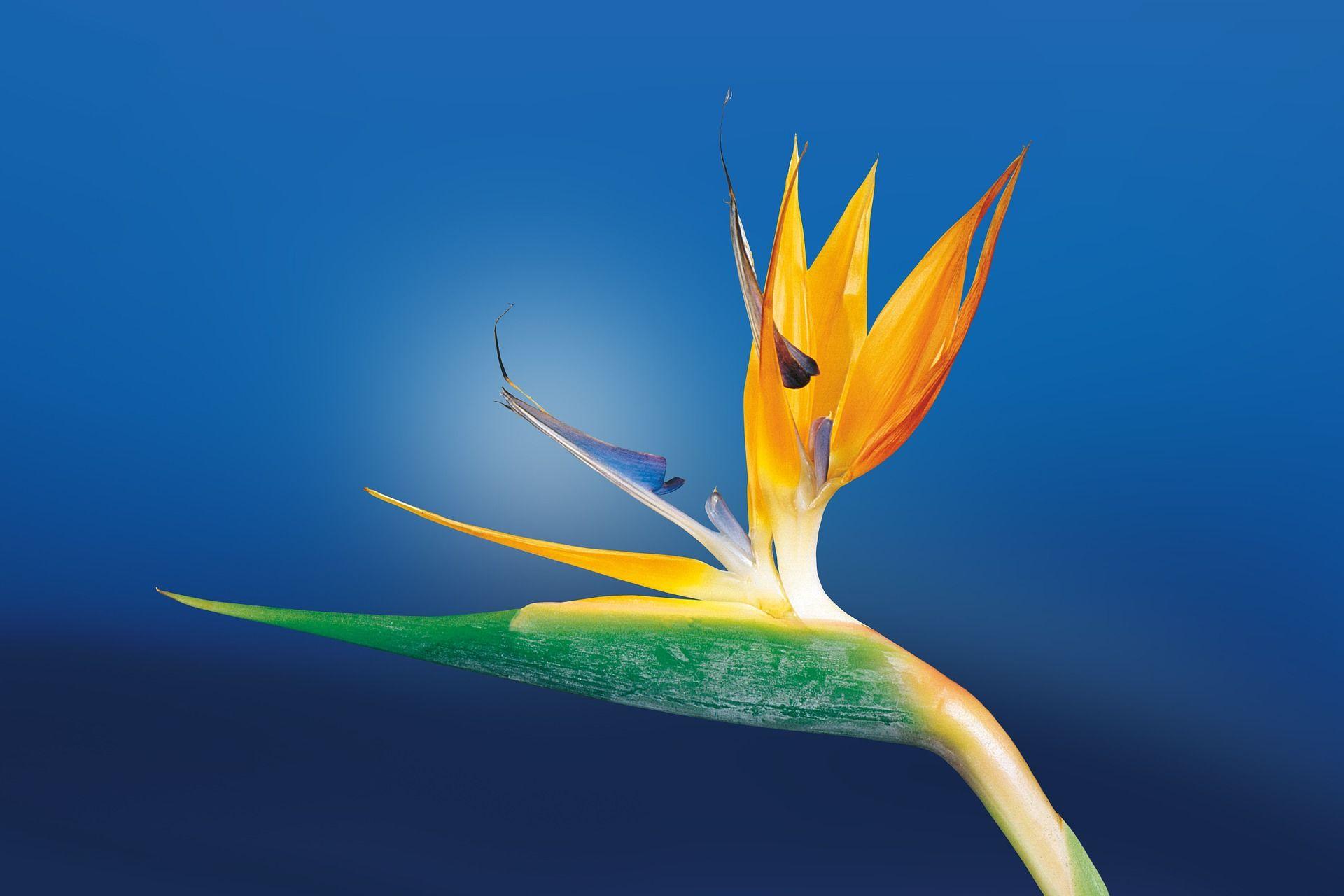 Картинки цветка – райская птица бесплатно