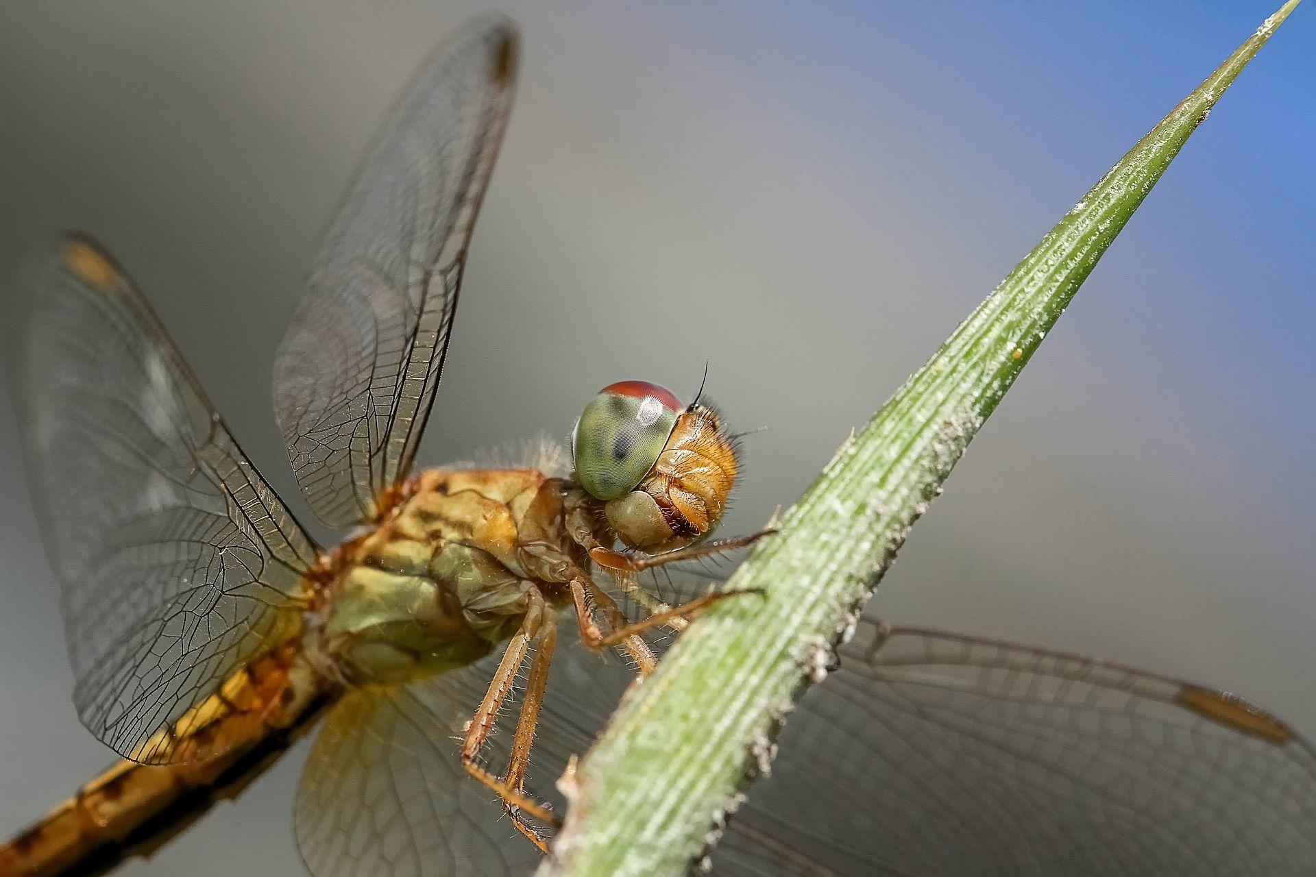 Фото стрекозы бесплатно