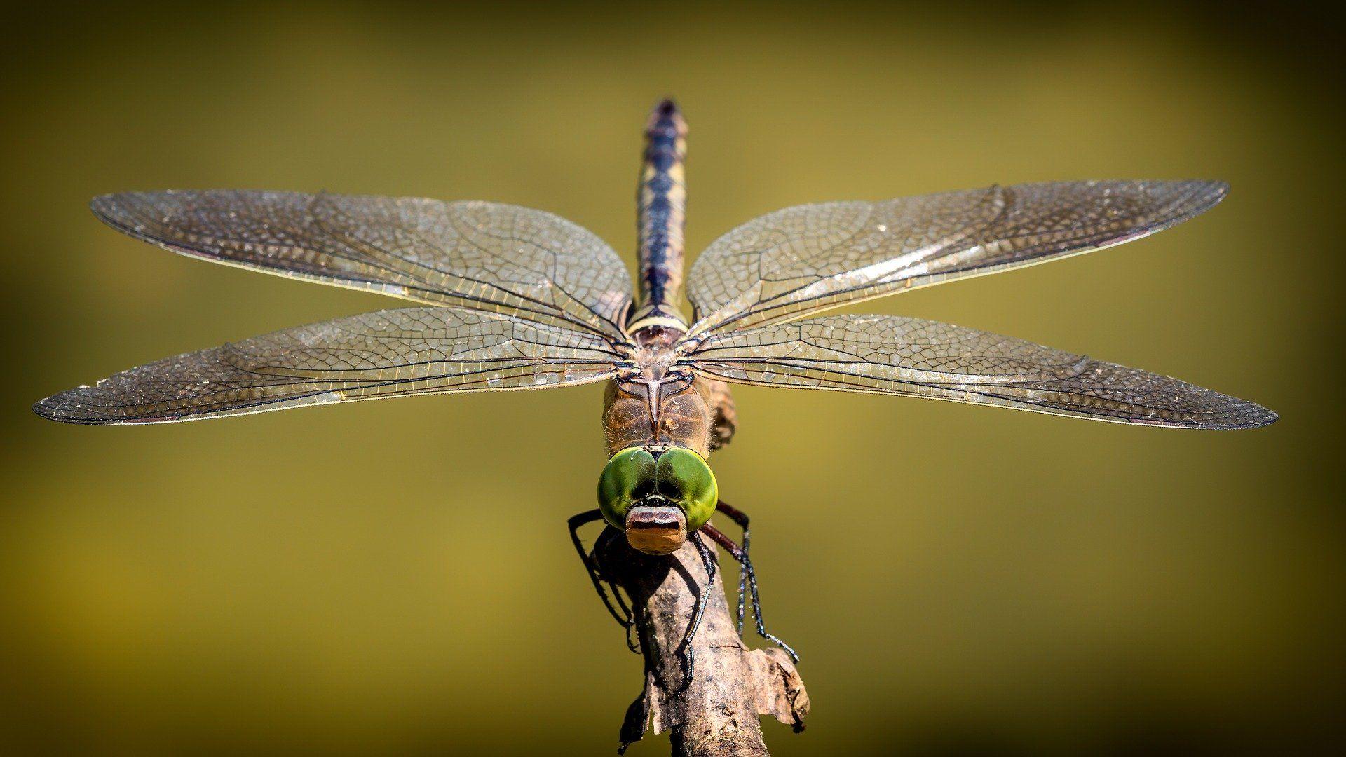 Фото золотой стрекозы бесплатно
