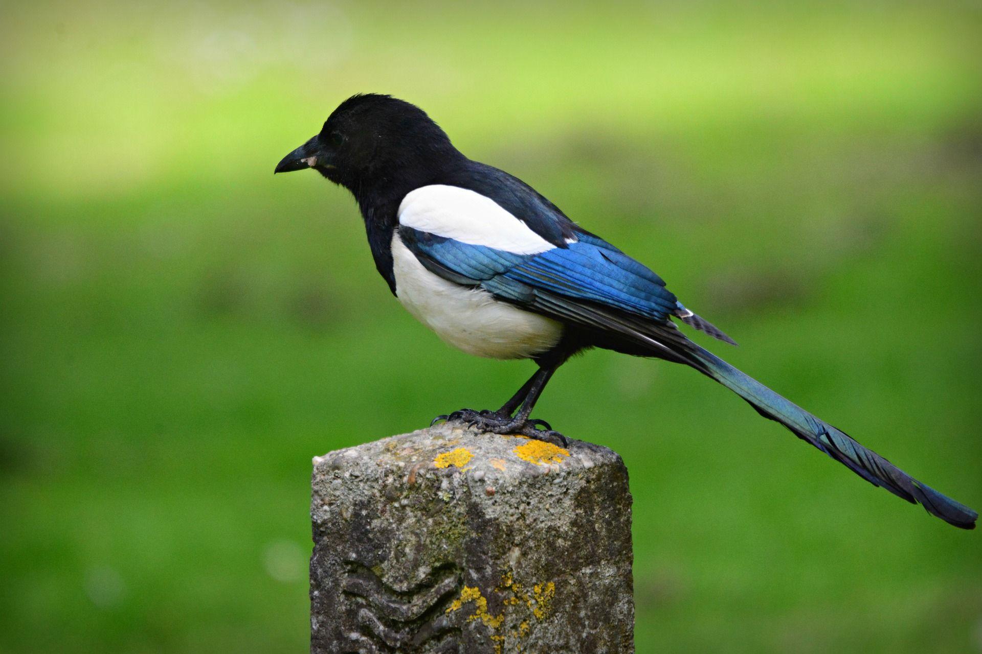 Скачать картинки птицы сороки