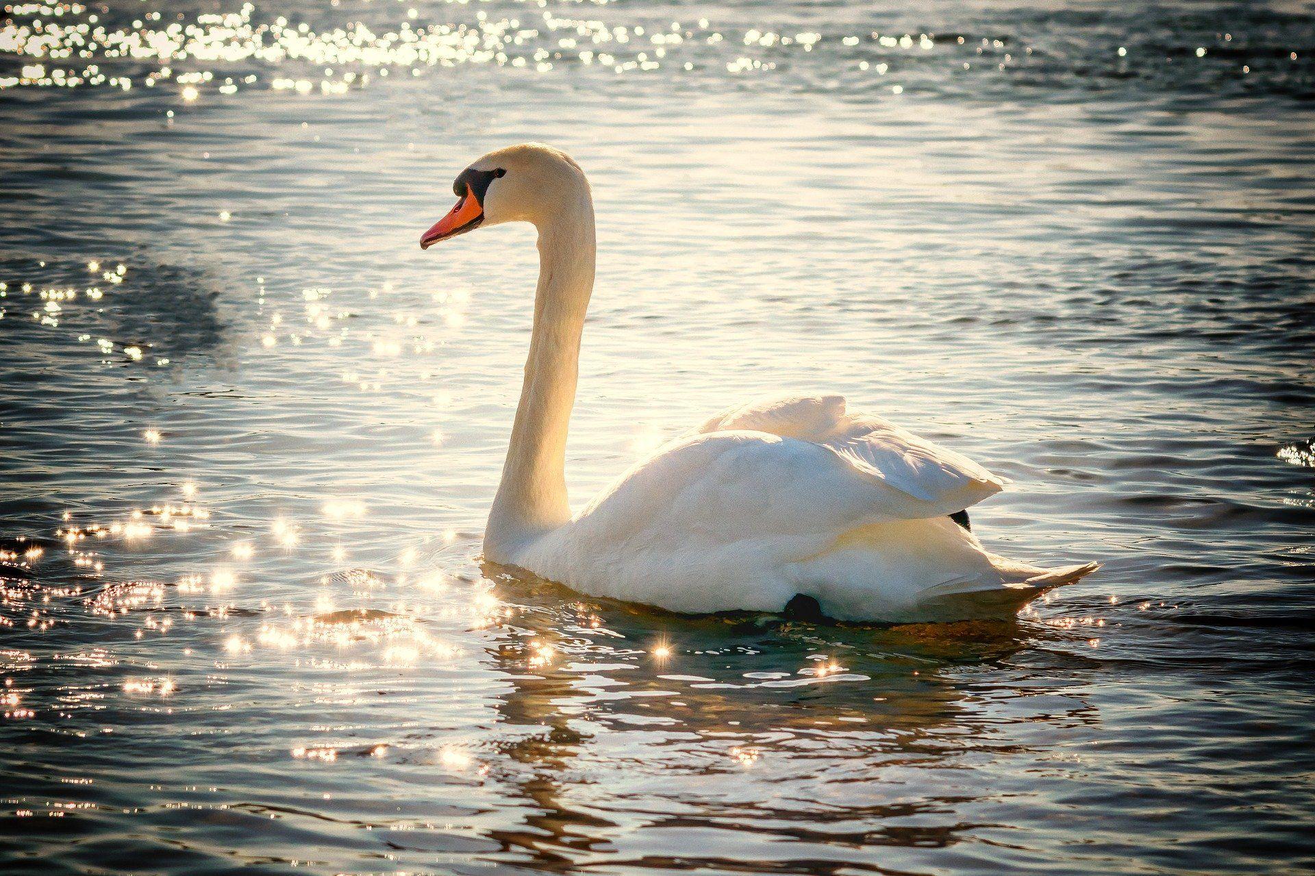 Смотреть красивую картинку белый лебедь на пруду