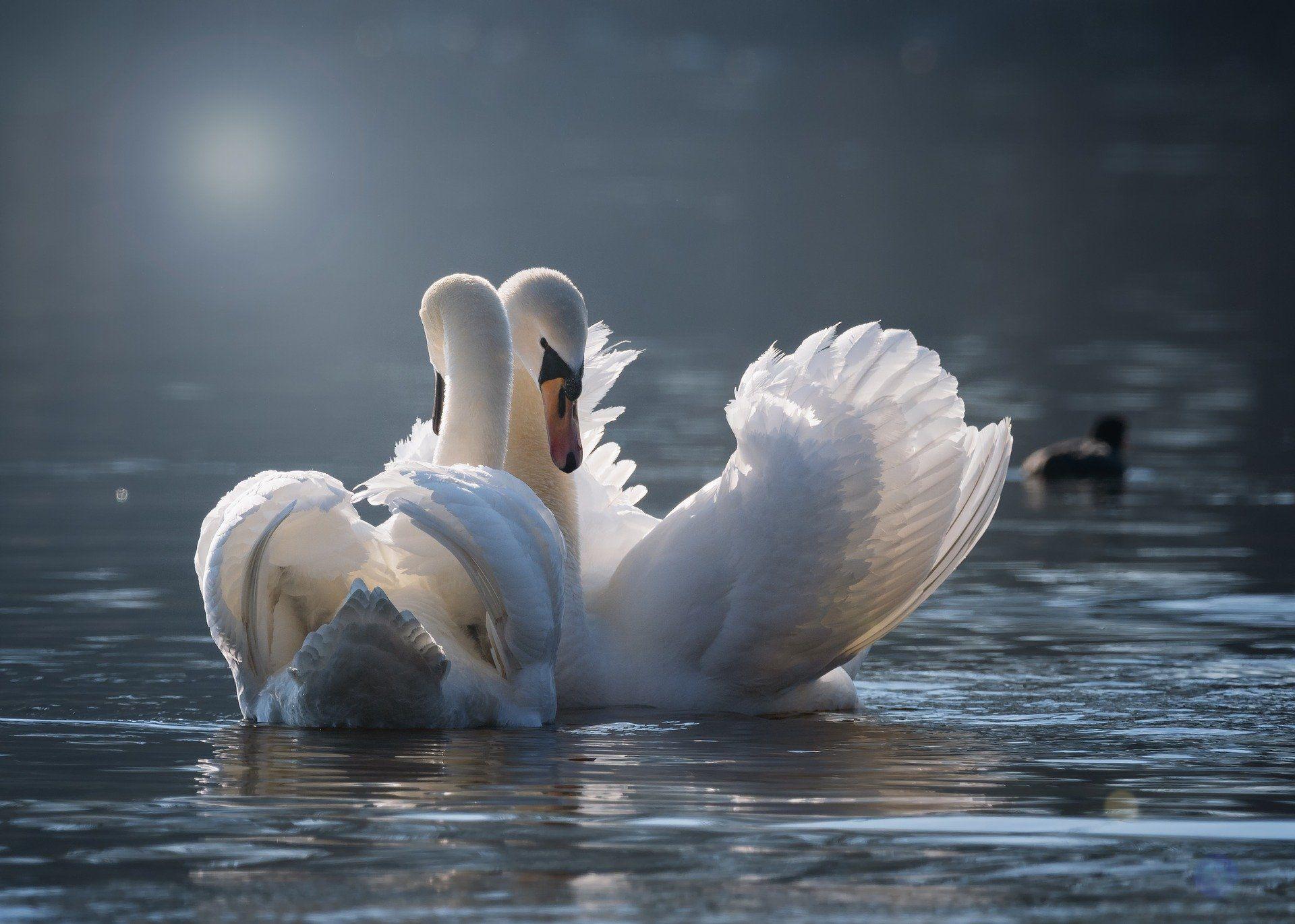 Скачать бесплатно фото красивого белого лебедя