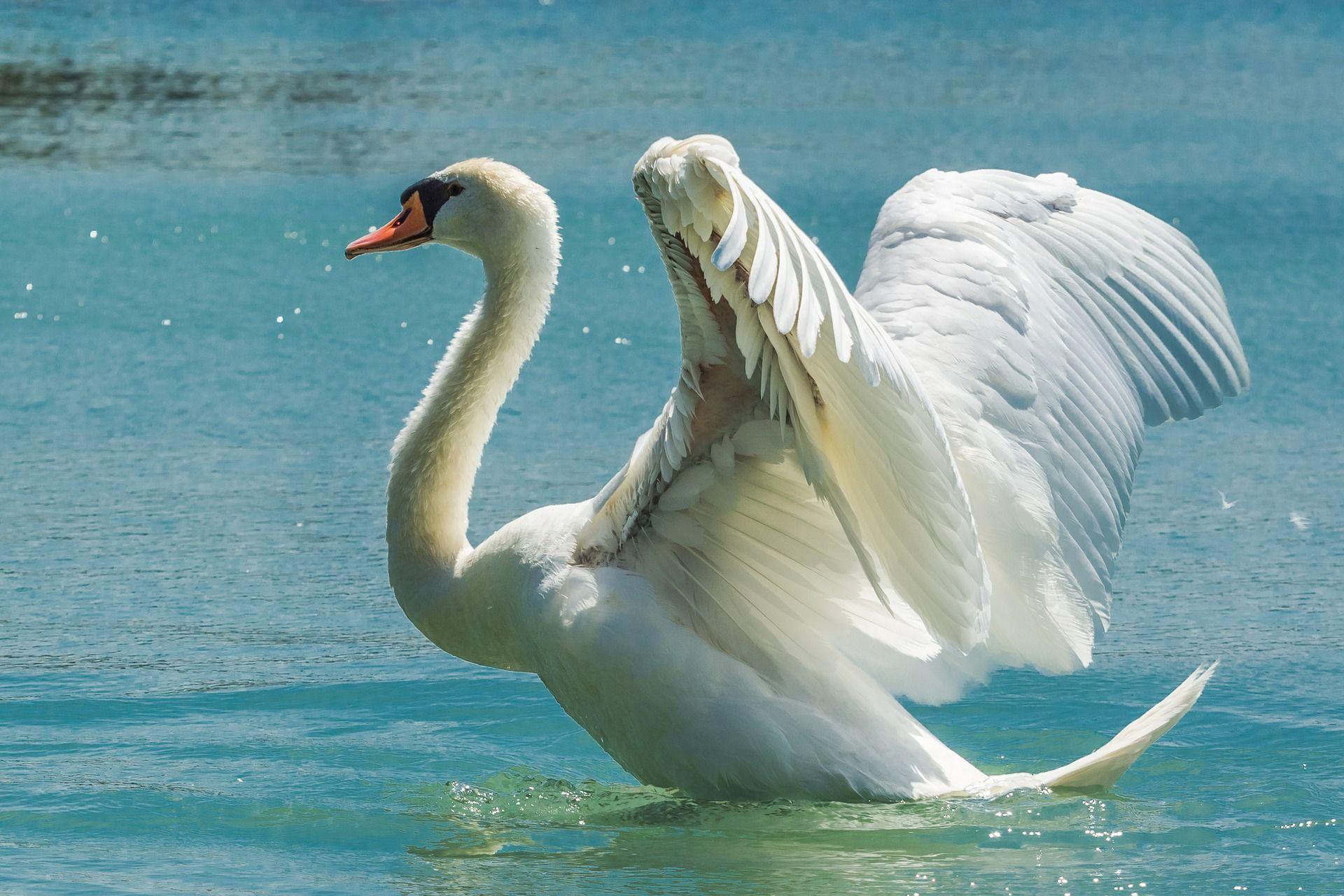 Смотреть интересное фото белый лебедь взлетает