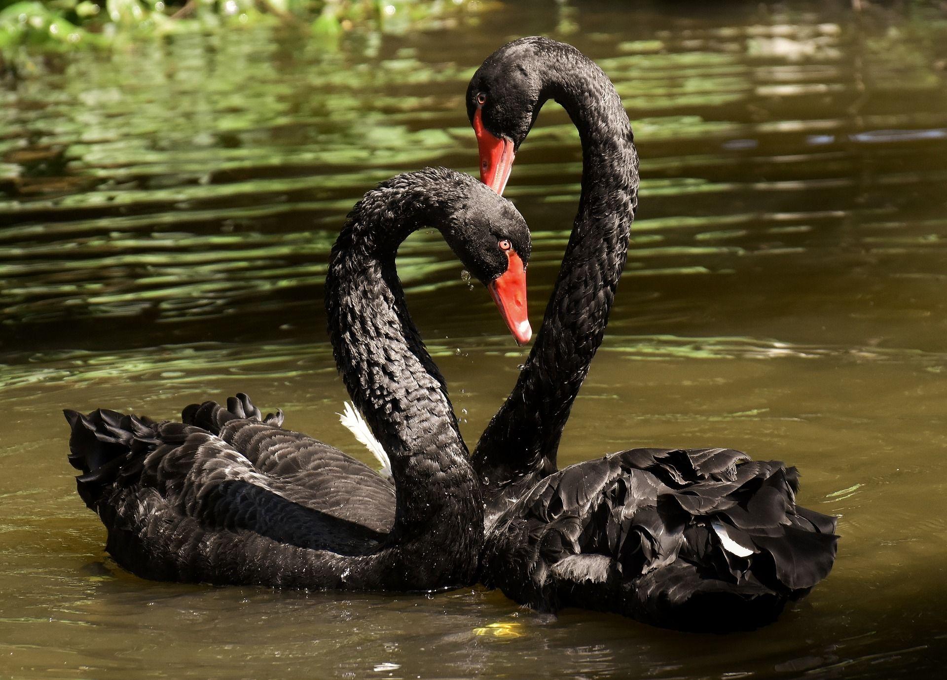 Скачать онлайн бесплатно фото двух черных лебедей и их детеныша