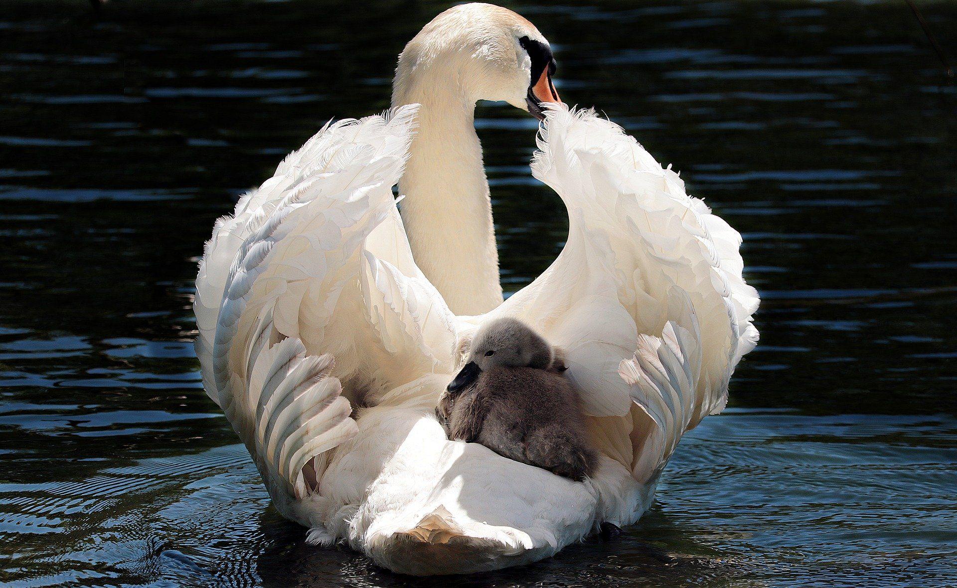 Скачать лучшую картинку про белого лебедя бесплатно
