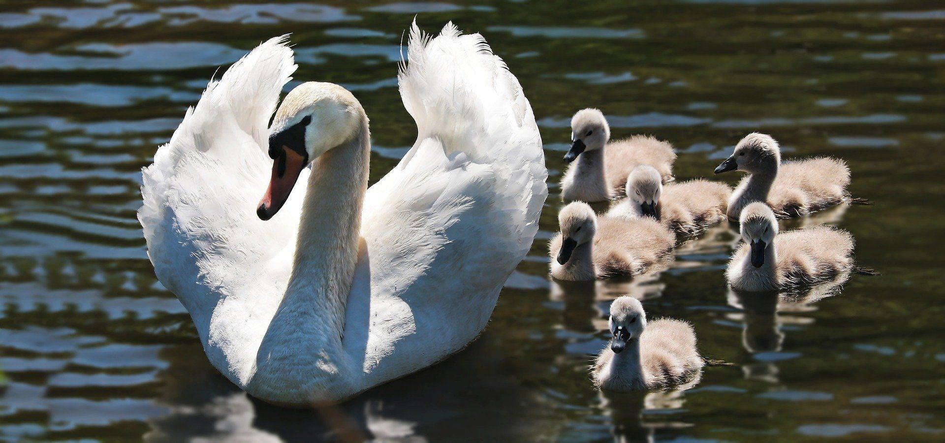 Смотреть лучшее фото белый лебедь на природе со своими детенышами