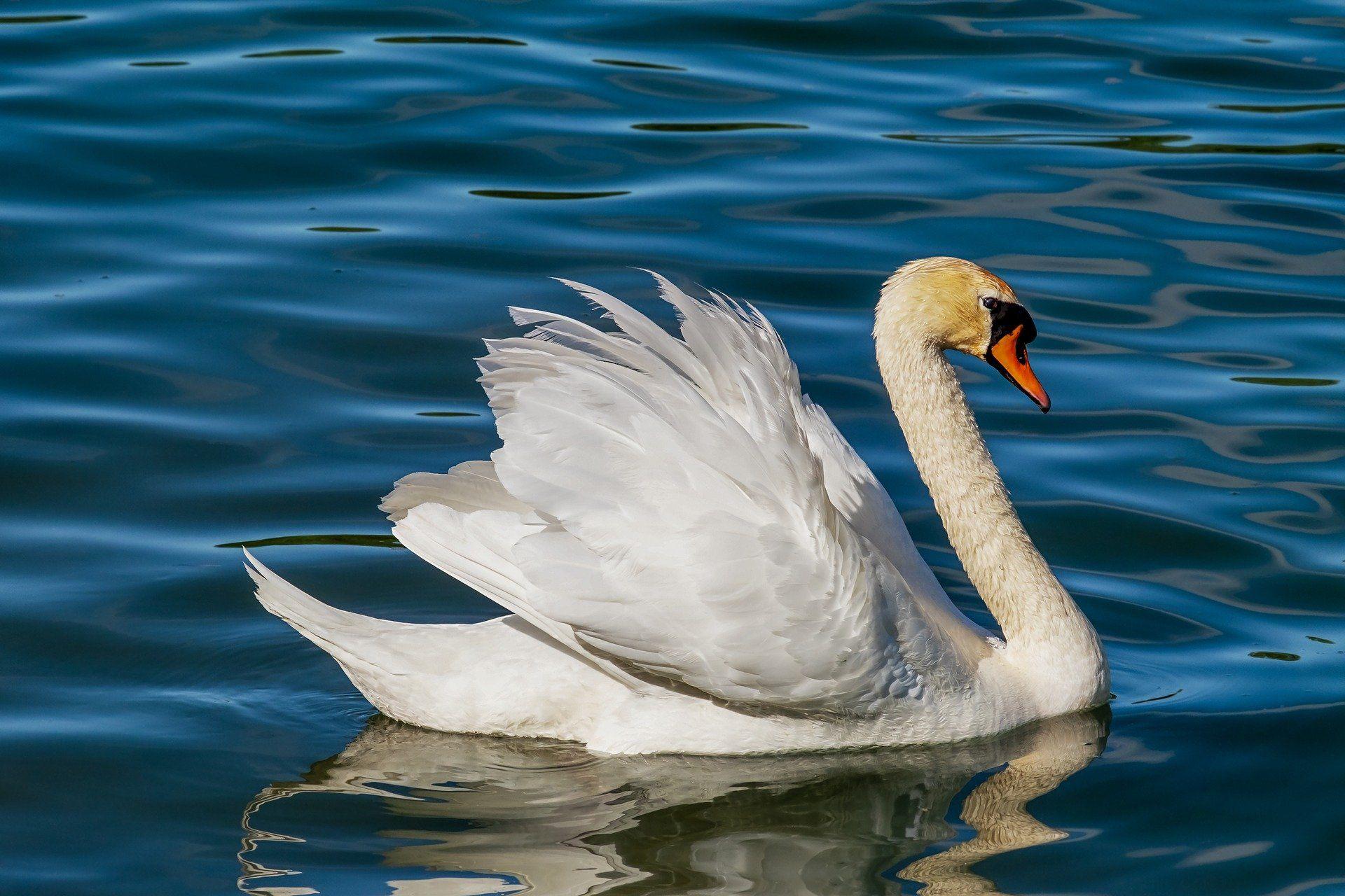 Скачать онлайн бесплатно оригинальное фото про белого лебедя