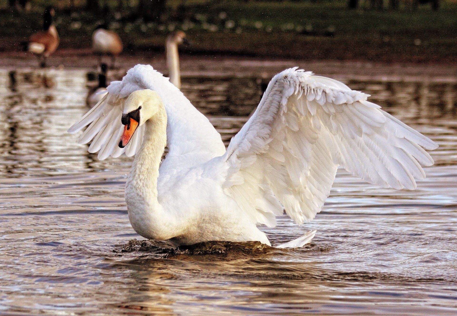 Смотреть красивое фото белого лебедя в среде обитания