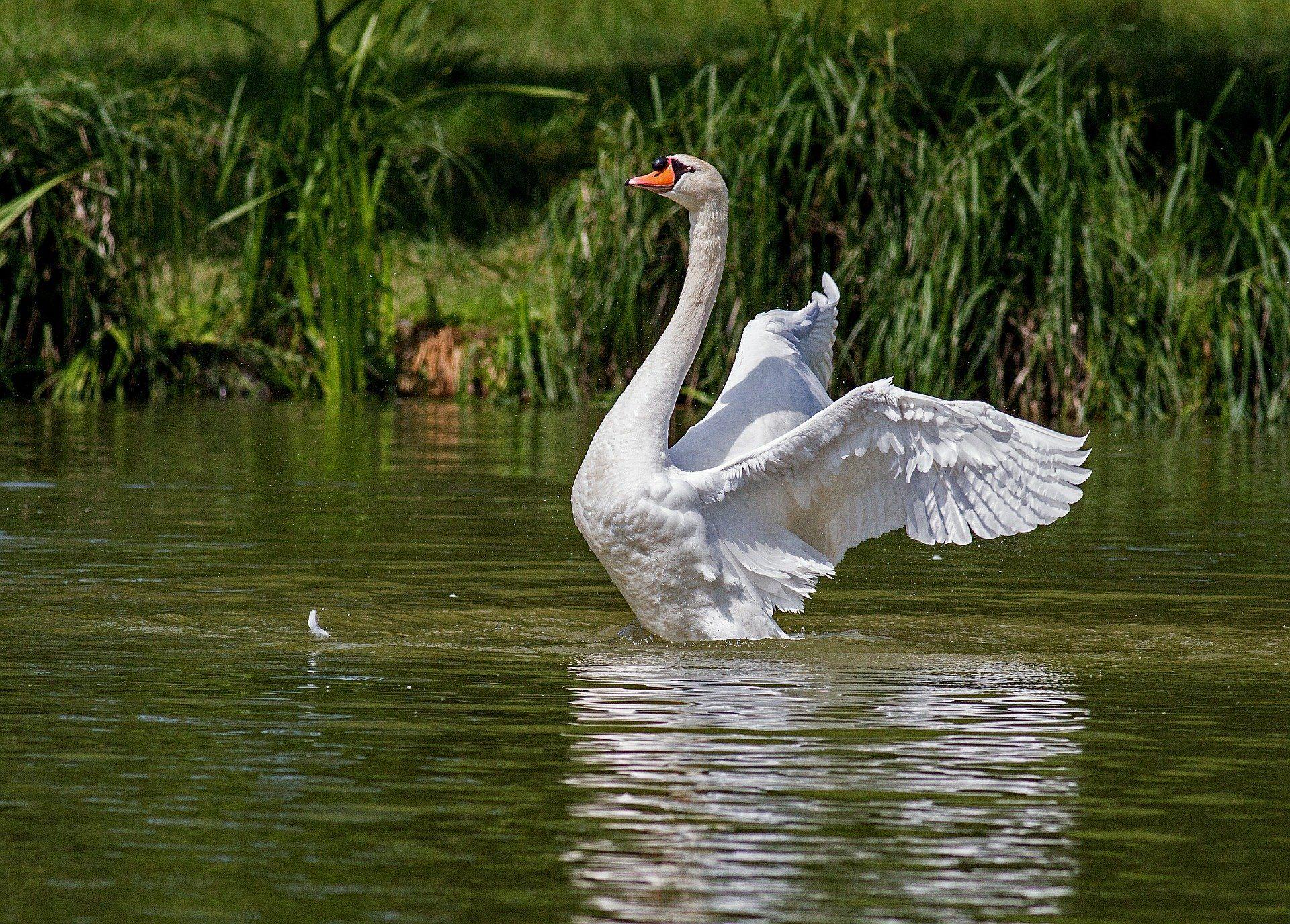 Скачать бесплатно лучшее фото белого лебедя в хорошем качестве