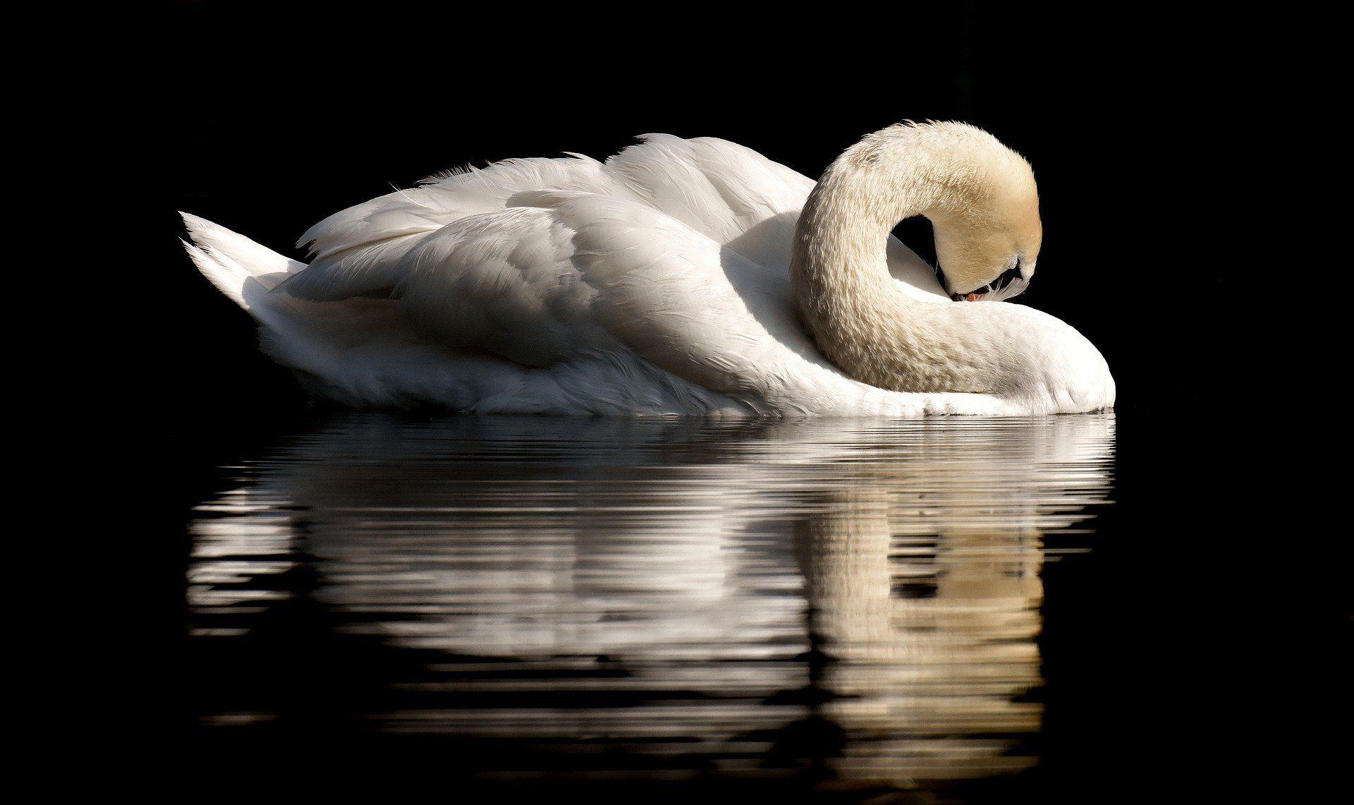 Смотреть интересное фото белый лебедь отдыхает на природе