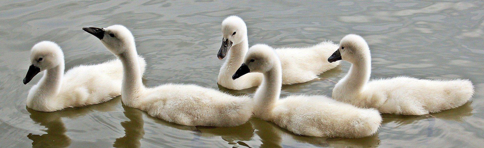 Скачать онлайн бесплатно лучшее фото белого лебедя крупным планом