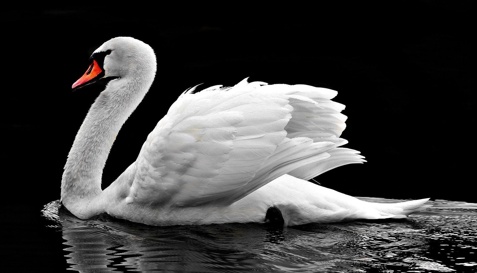 Смотреть красивое фото белый лебедь на воде