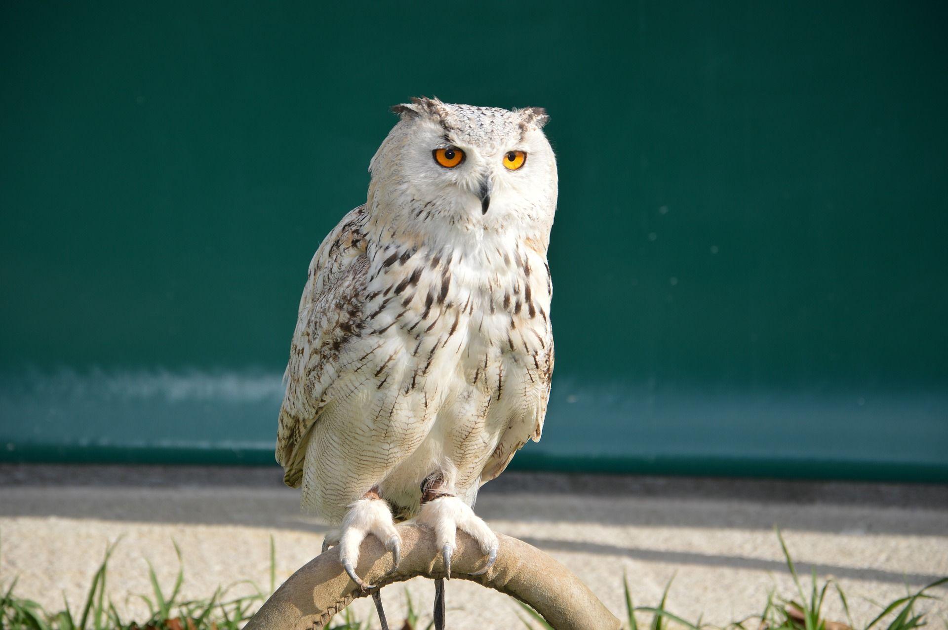 Скачать фото совы из интернета бесплатно