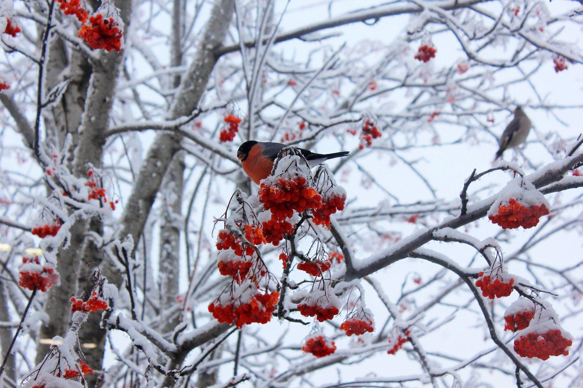 Скачать фото снегирей из интернета бесплатно