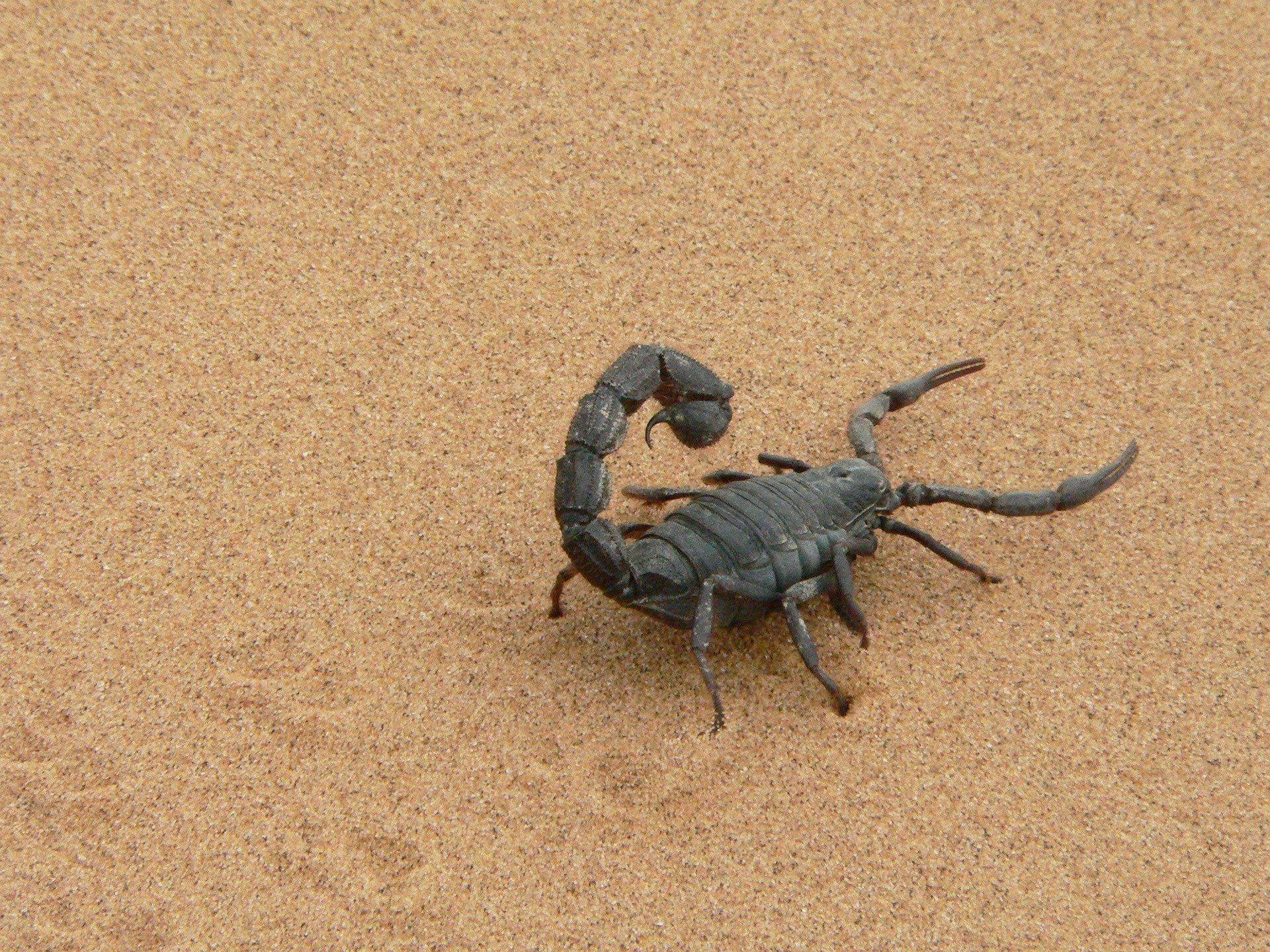 Бесплатные изображения, фото скорпиона
