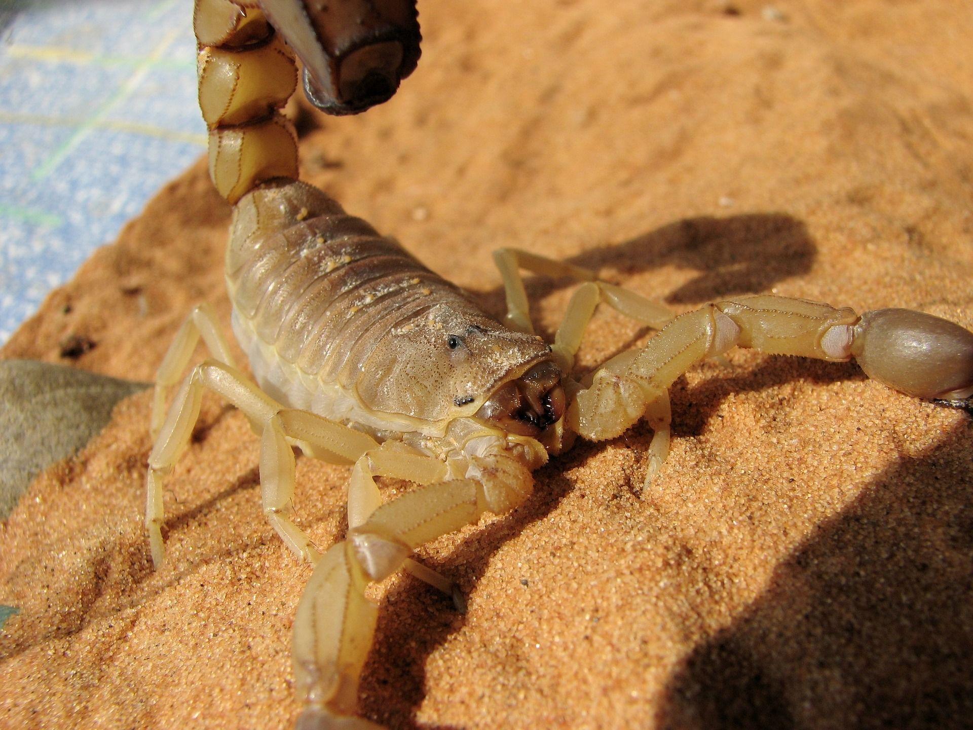 Смотреть фото животного скорпиона