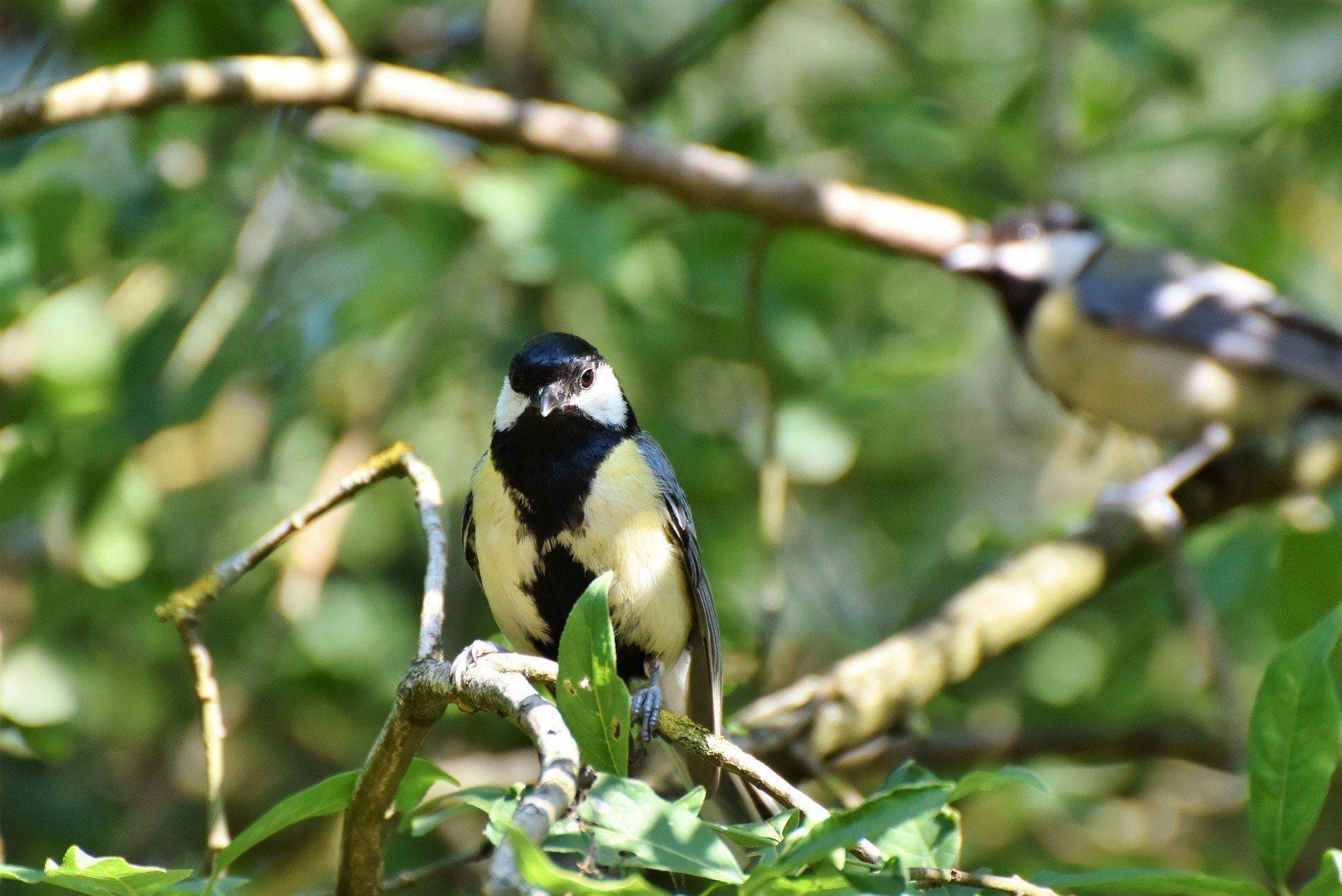 Бесплатные картинки птиц синиц