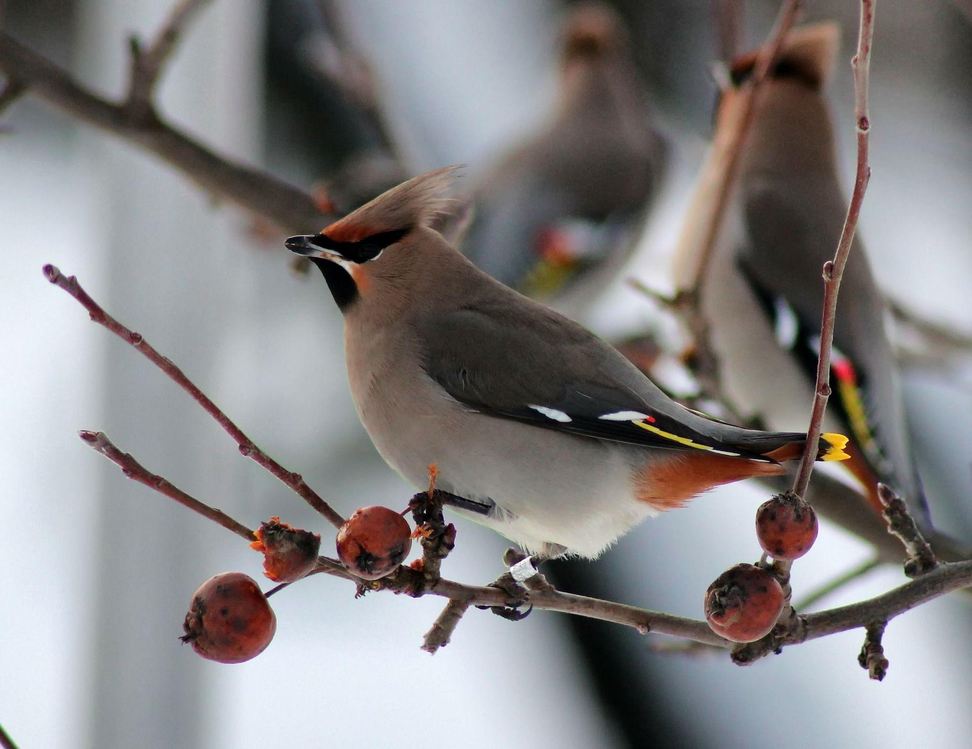 Фотографии птицы свиристель