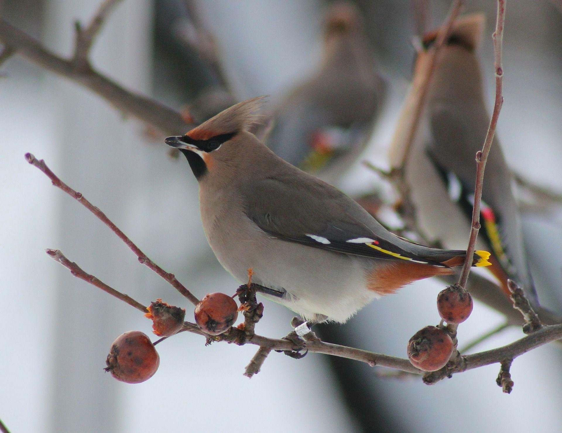 Картинки красивых птиц свиристелей