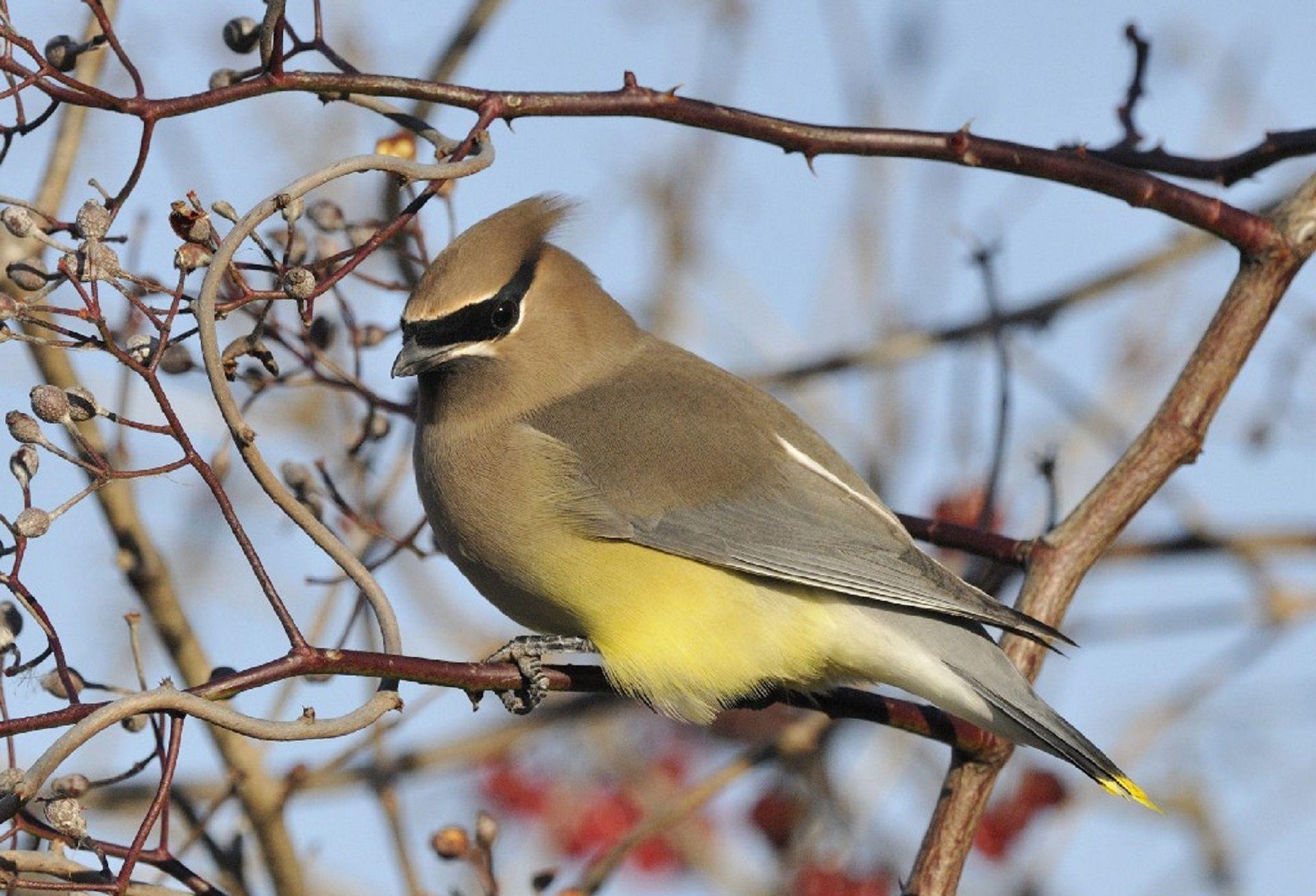 Как выглядят птицы свиристели? Смотрите фото бесплатно