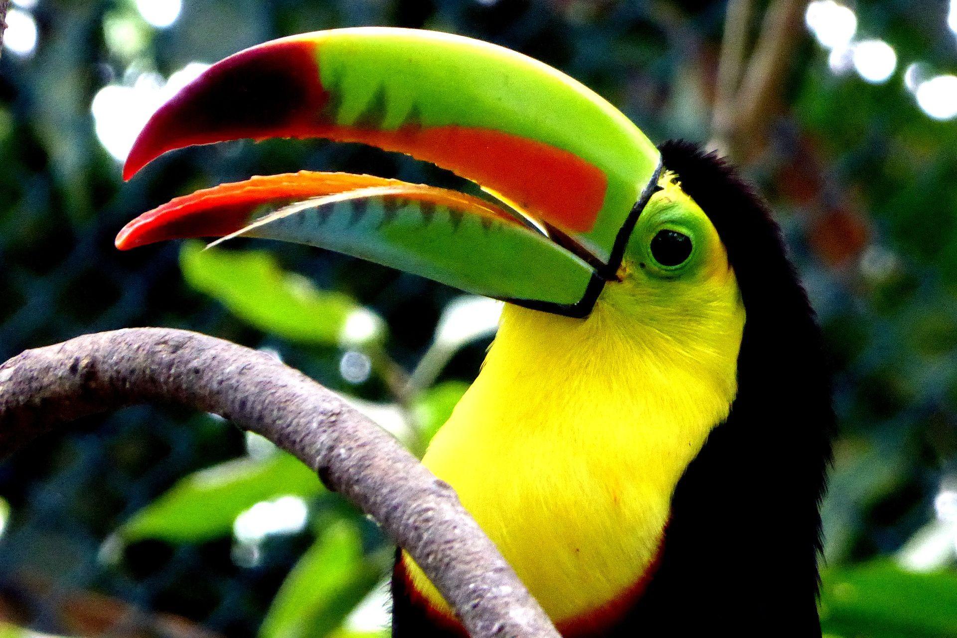 Смотреть фото птицы тукана онлайн
