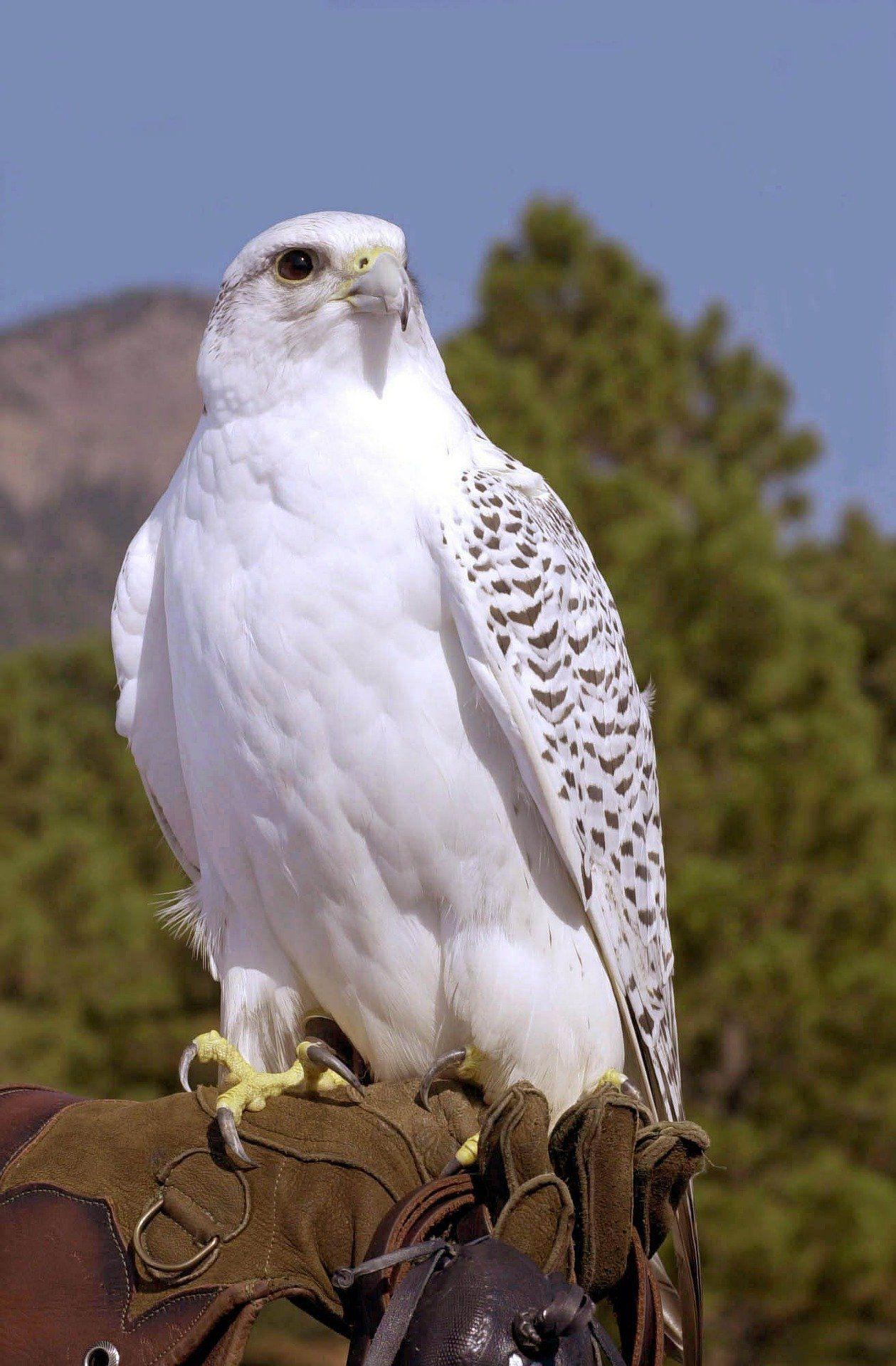 Смотреть лучшее фото птицы кречет на природе