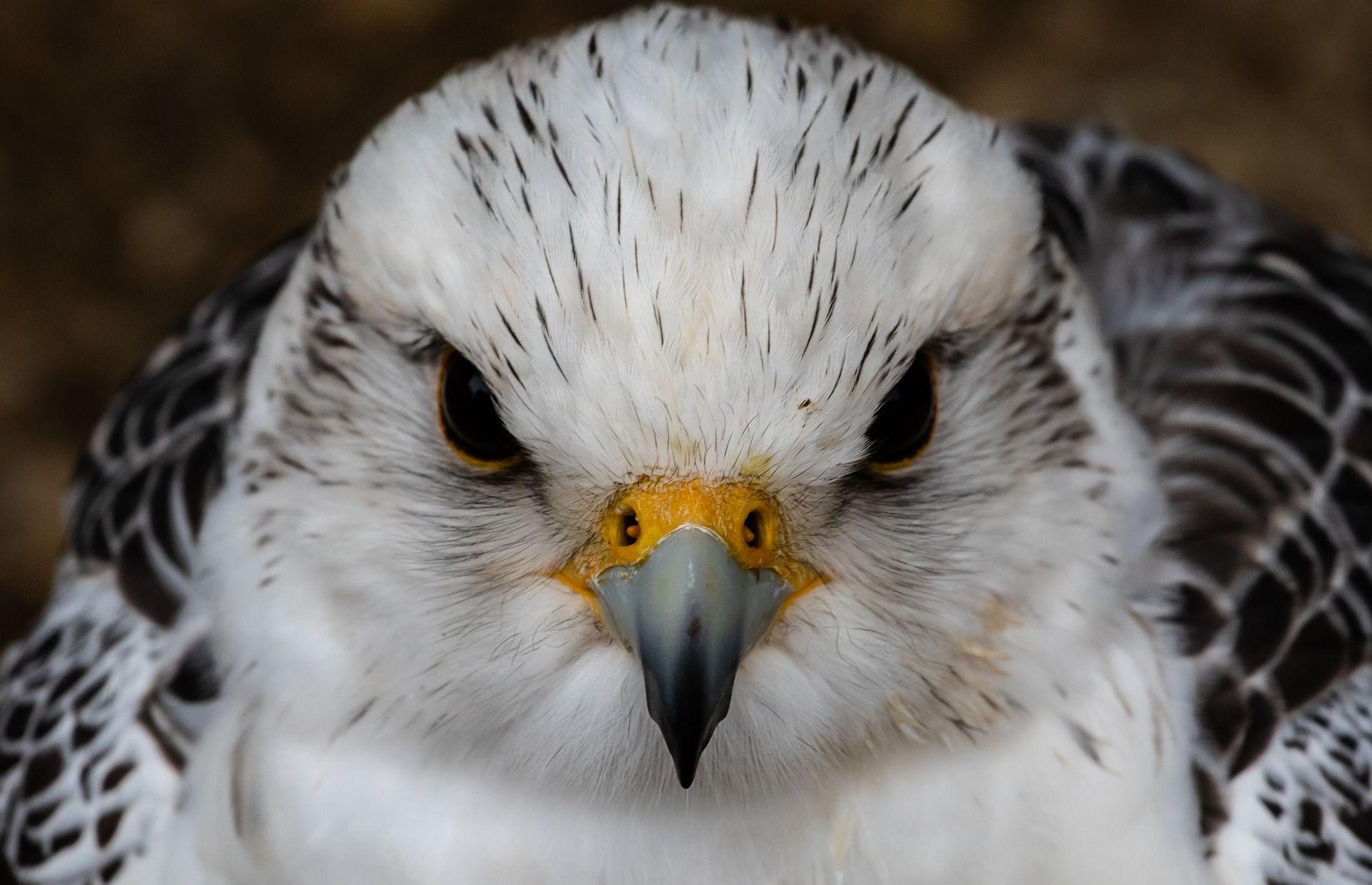 Скачать онлайн бесплатно красивую картинку птицы кречет