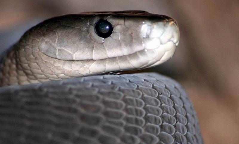 Смотреть фото ядовитой змеи - черной мамбы