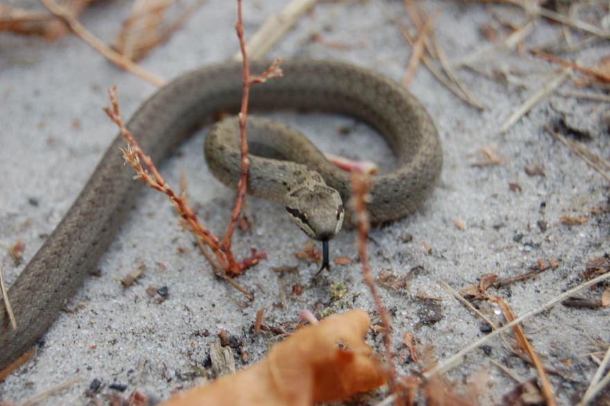 Смотреть фото змеи медянки