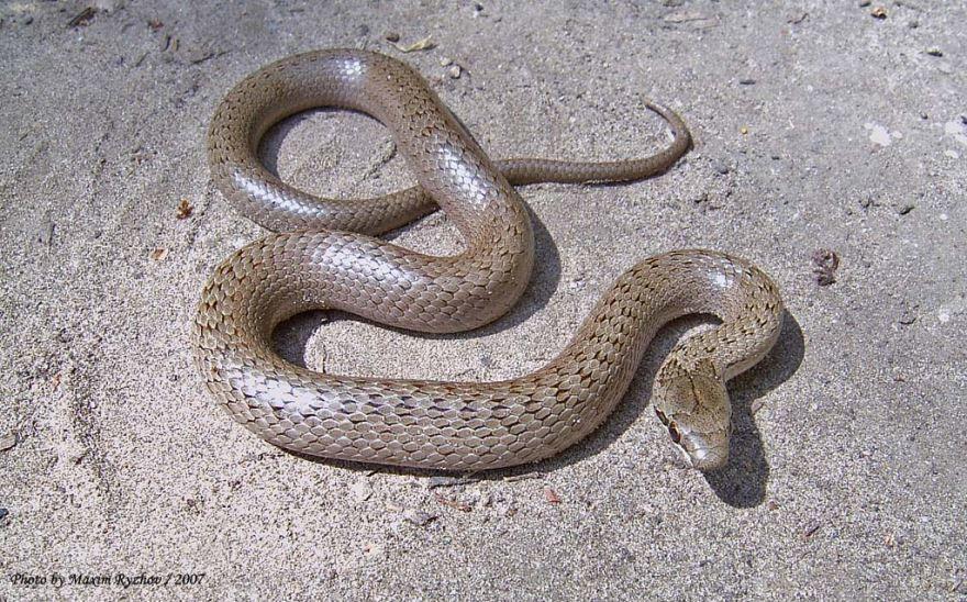 Читать описания к красивым фото со змеей медянки