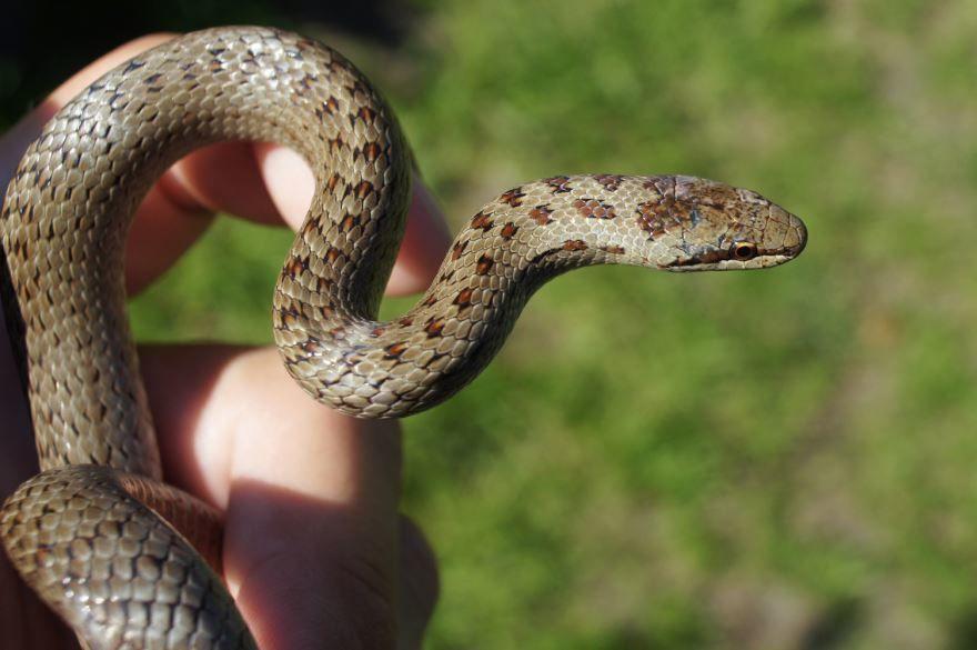 решает змея медянка фотографии этот период