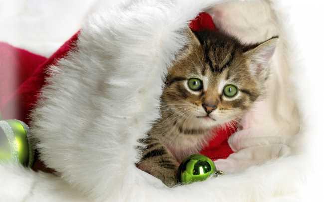 Новогодний кот (или кошка) накрытый костюмом деда мороза
