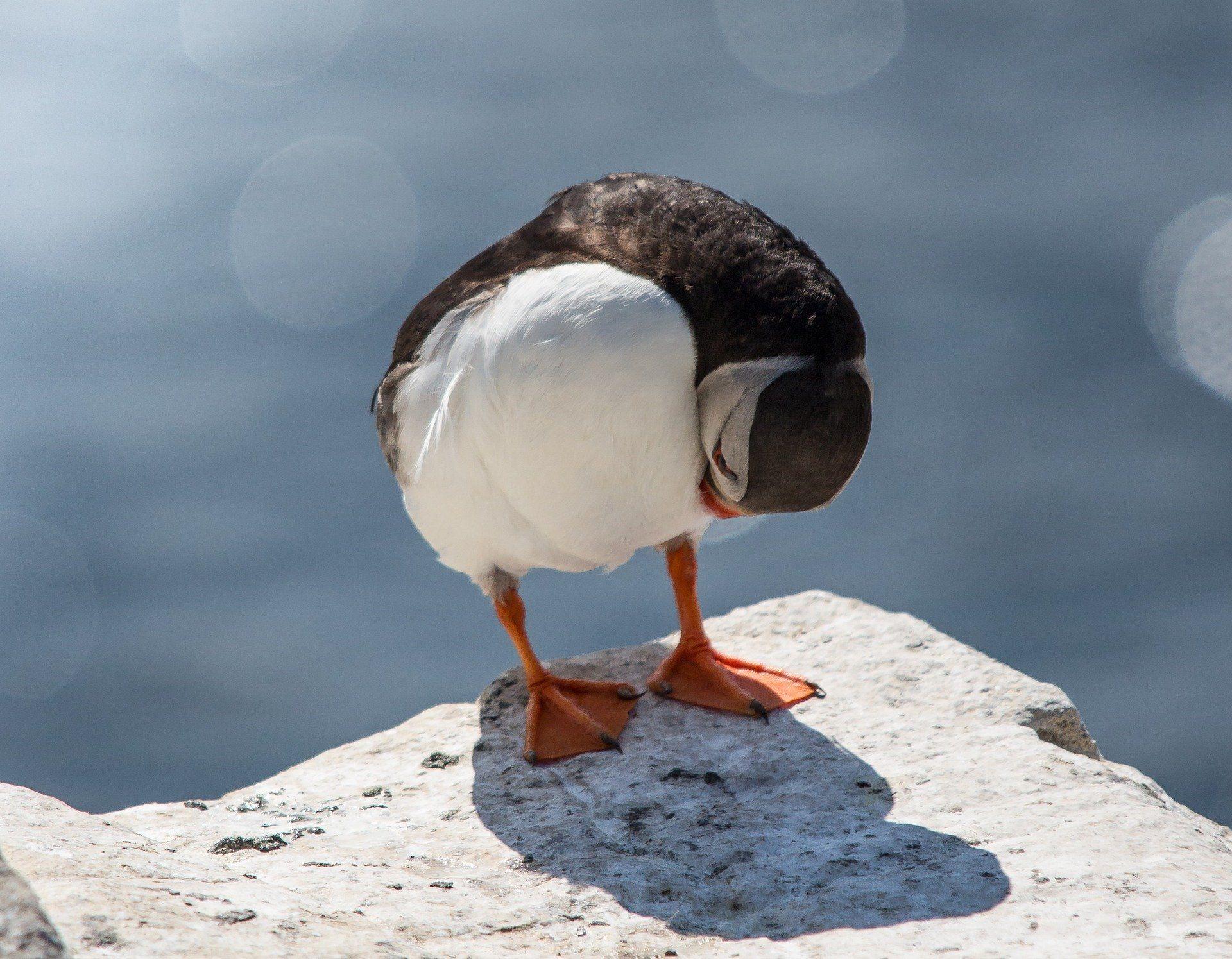 Фото птиц тупик из Москвы бесплатно