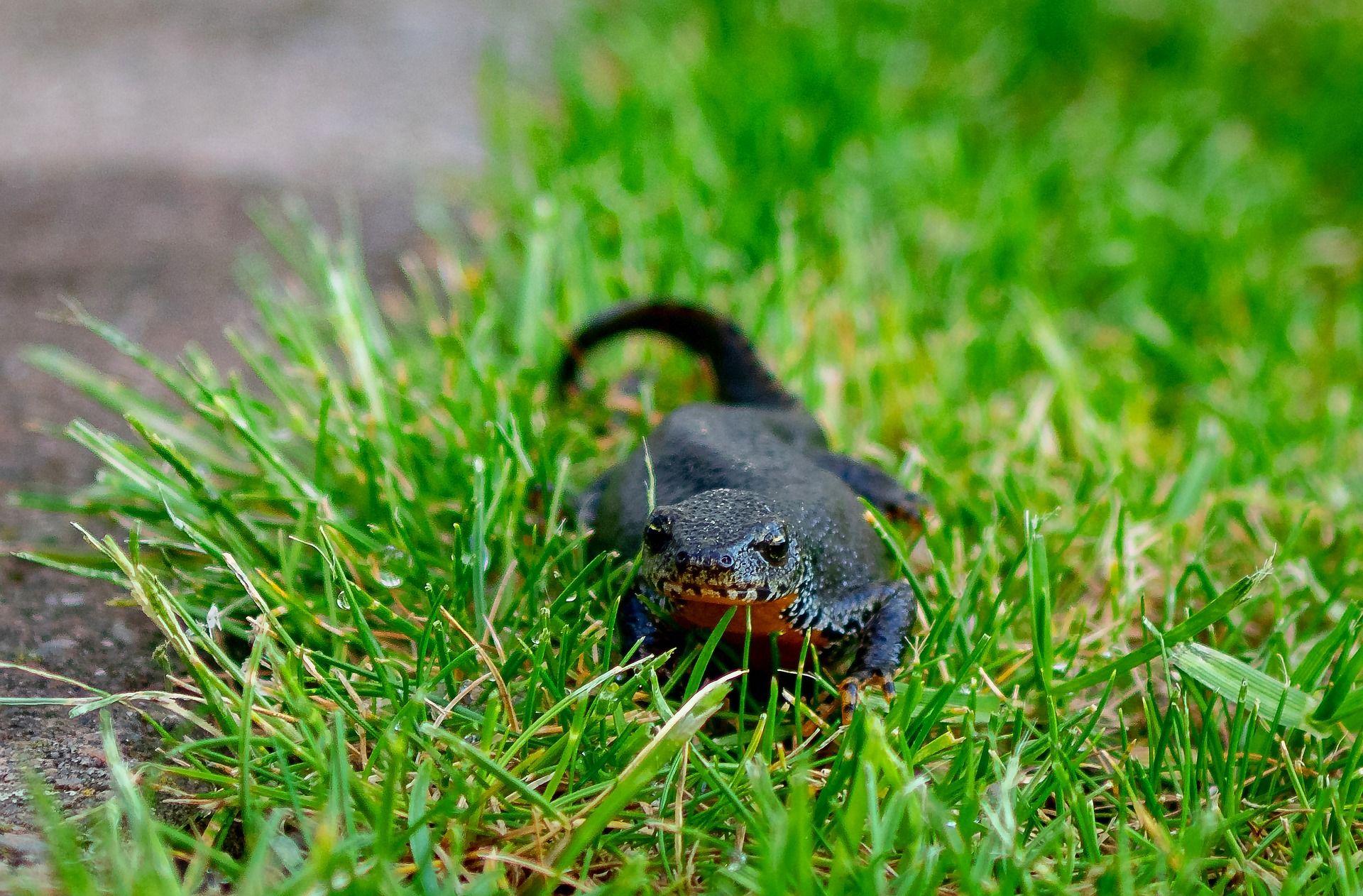 Фото домашнего тритона на прогулке