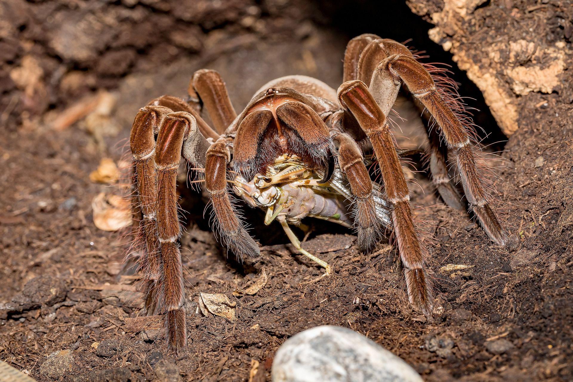Купить фото паука тарантула? Бесплатно скачайте у нас