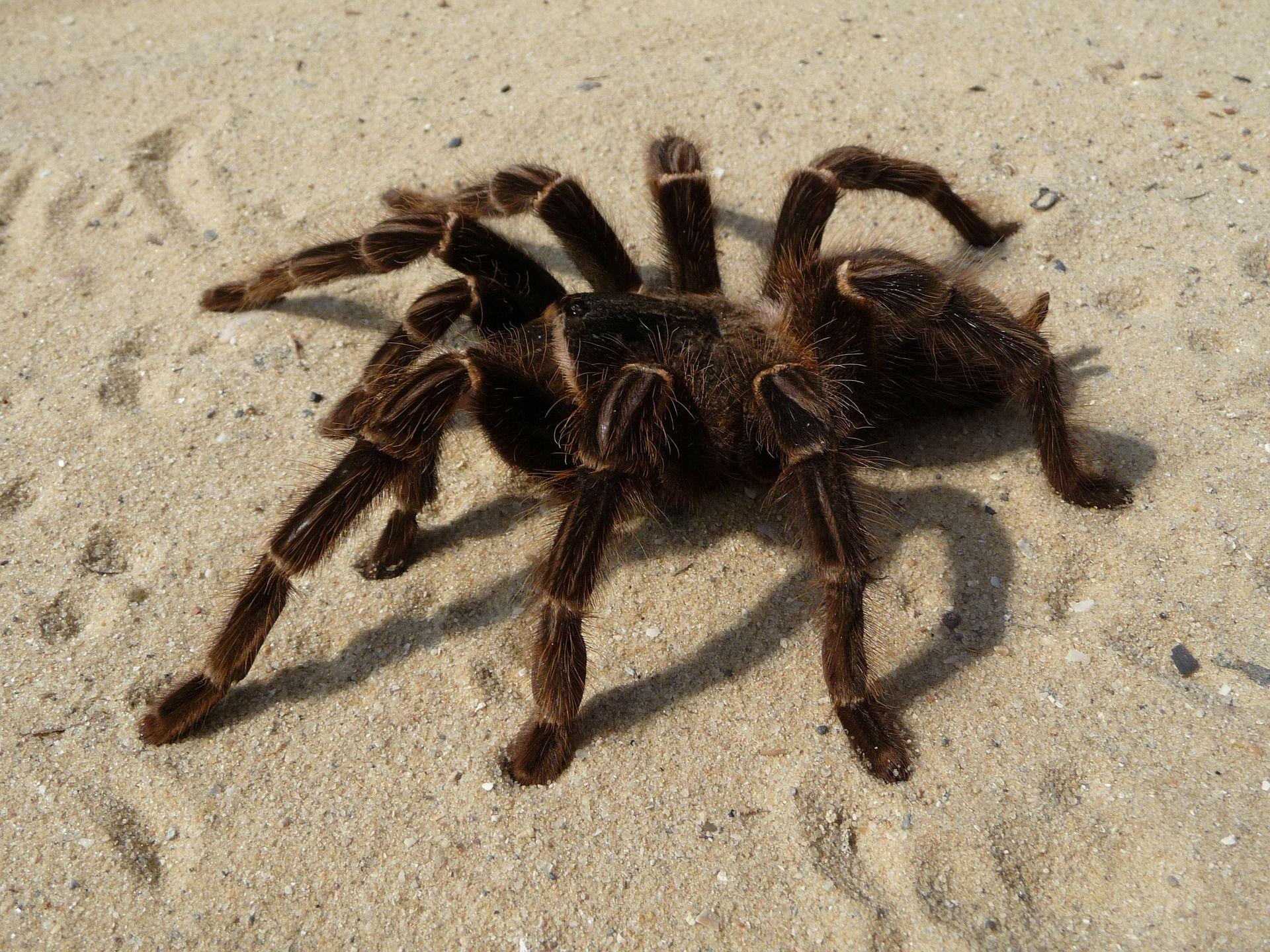Фото больших тарантулов в России