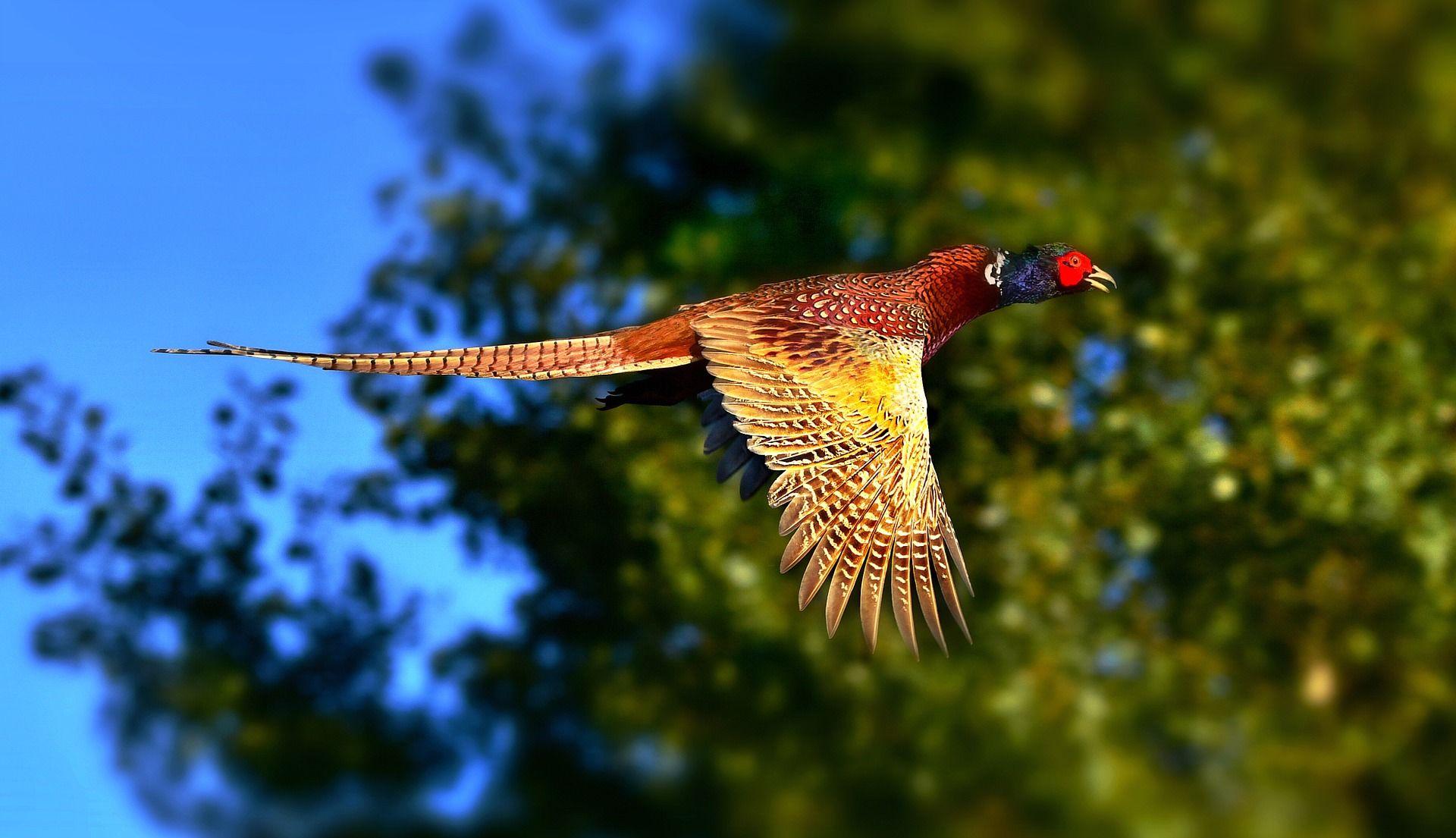 Купить красивые фото фазана. Скачать бесплатно в хорошем качестве