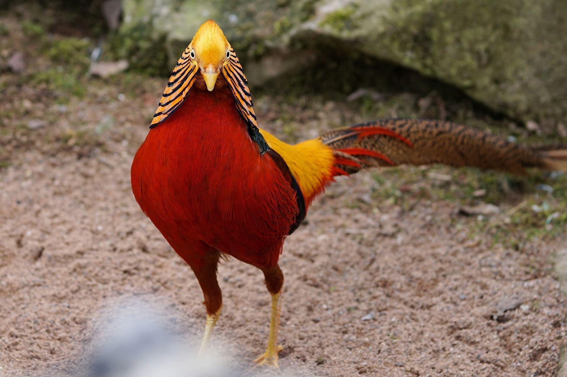 Смотреть фото фазанов онлайн