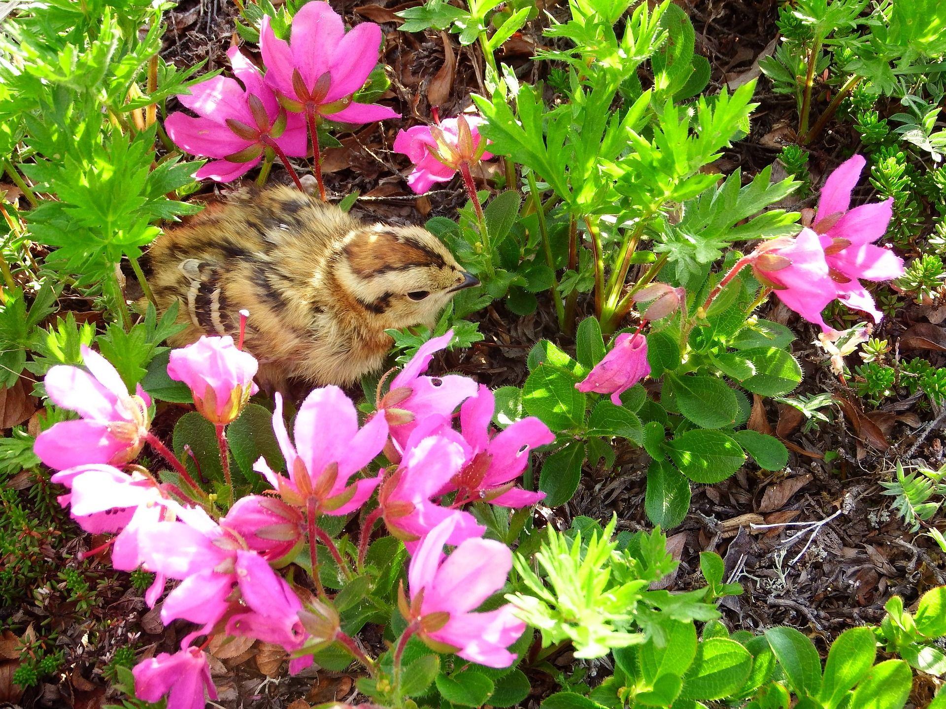 Смотреть лучшее фото куропатка на природе со своими детенышами