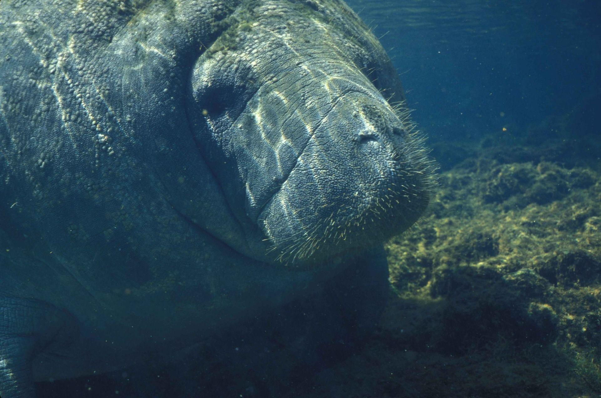 Смотреть интересное фото большой ламантин на глубине