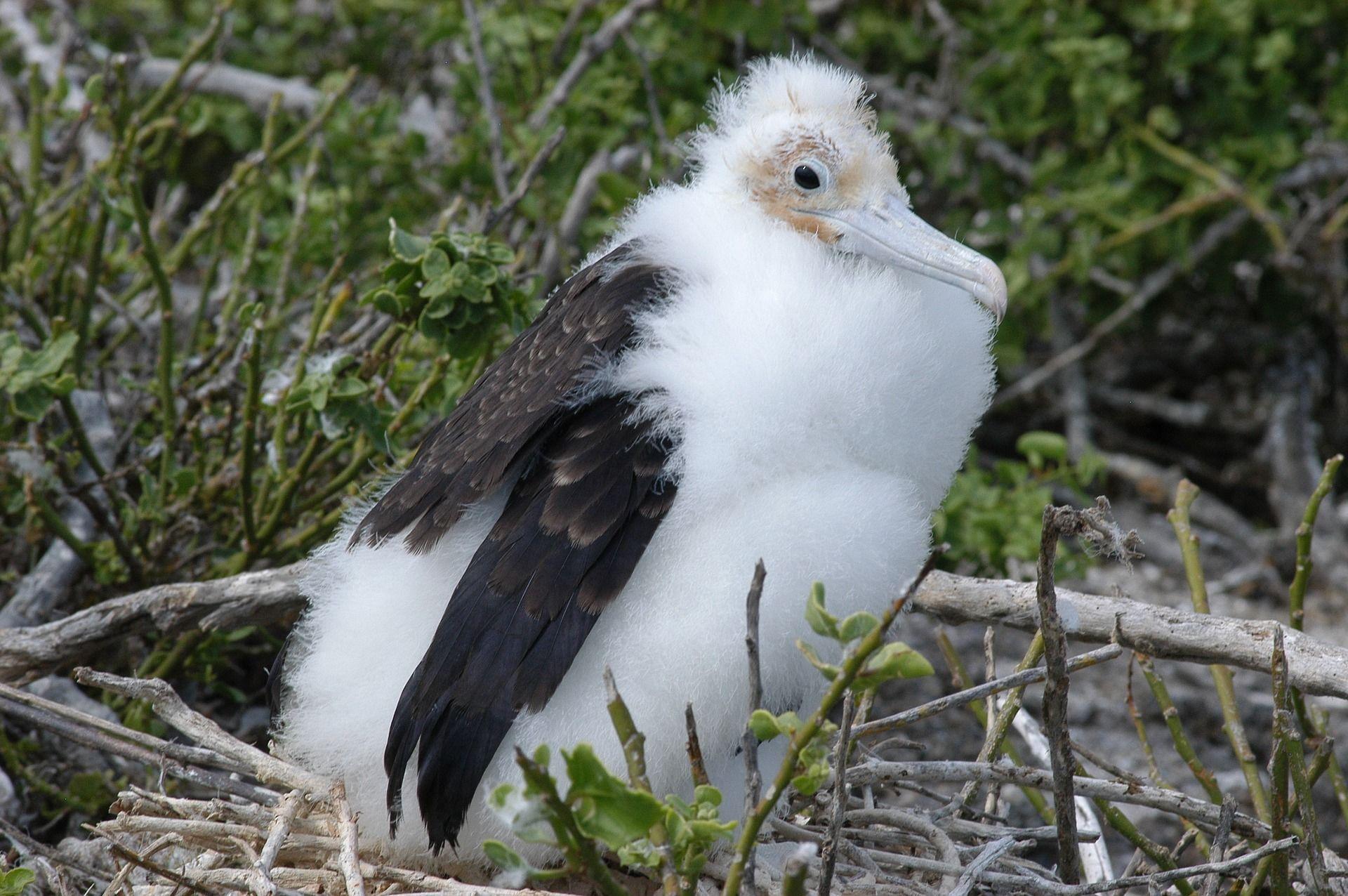 Смотреть лучшее фото детеныша фрегата в гнезде