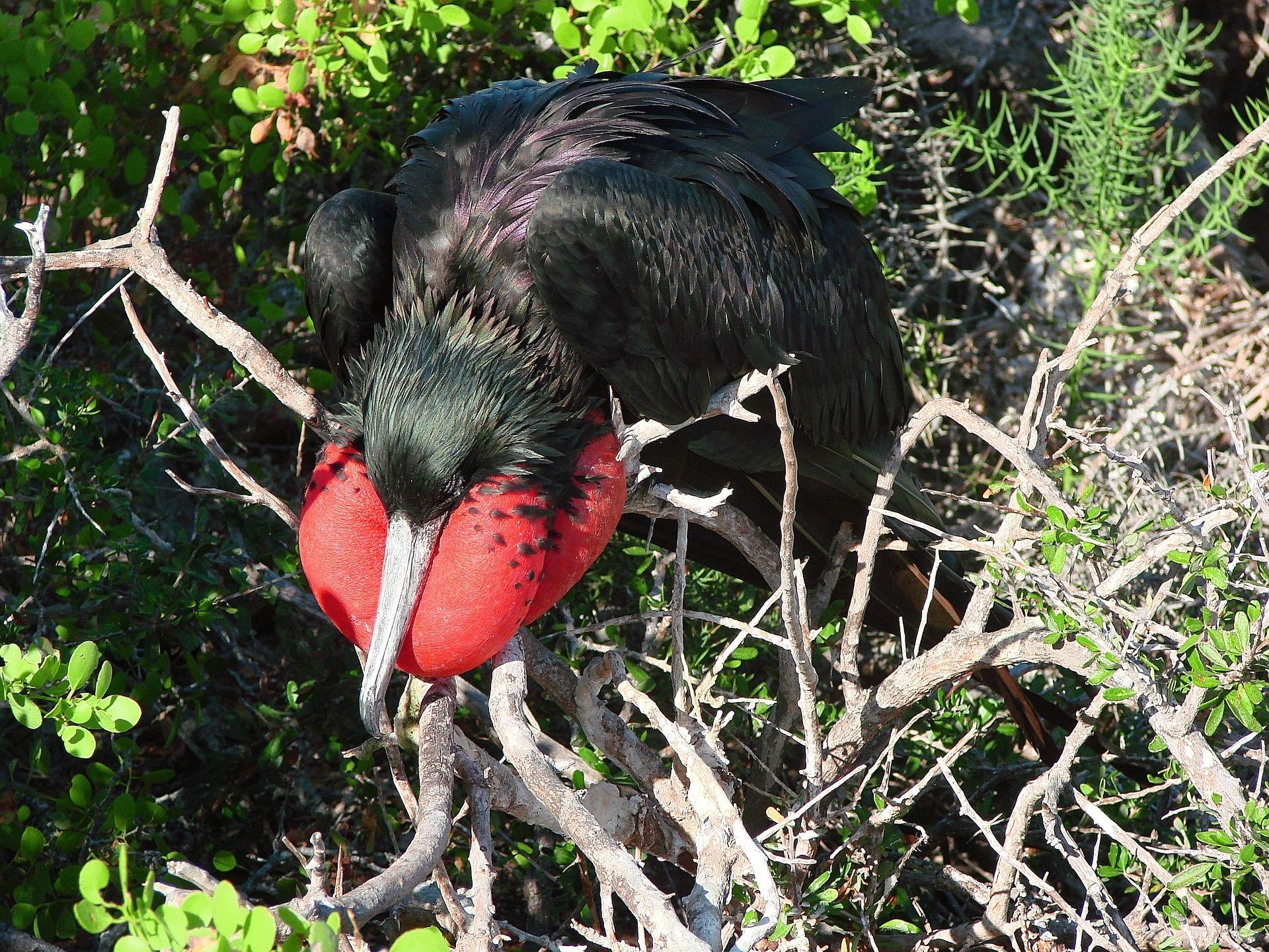 Смотреть лучшее фото птицы фрегат и его детеныша