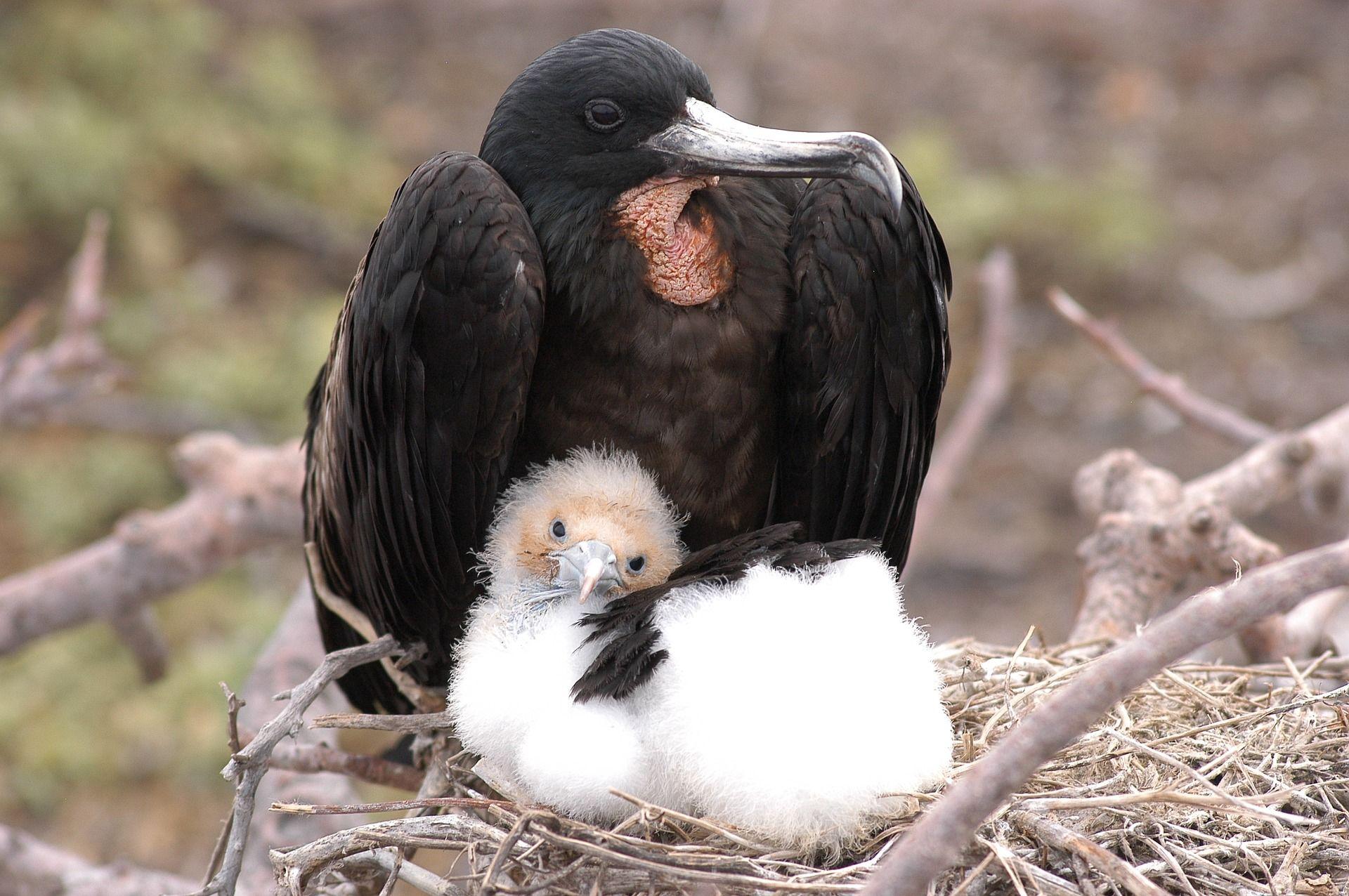 Смотреть лучшее фото фрегат обнял своего детеныша крылом