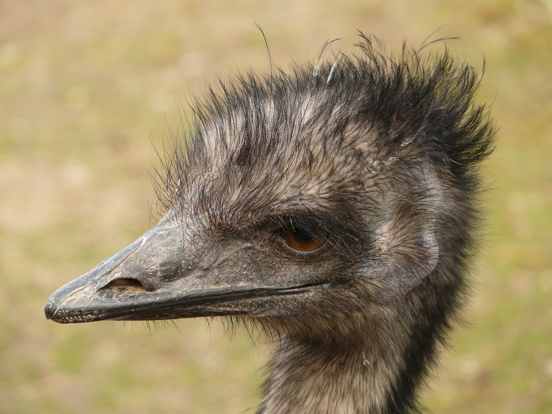Смотреть лучшее фото страус эму на природе